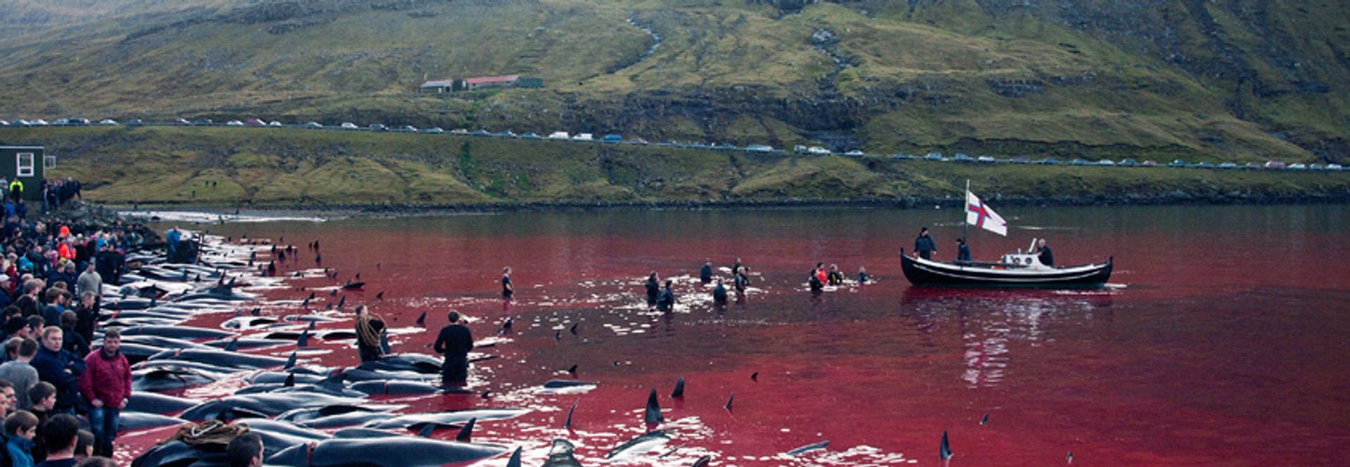 Tradition or Savagery? Grindadráp! in Faroe Islands - Best Season 2019