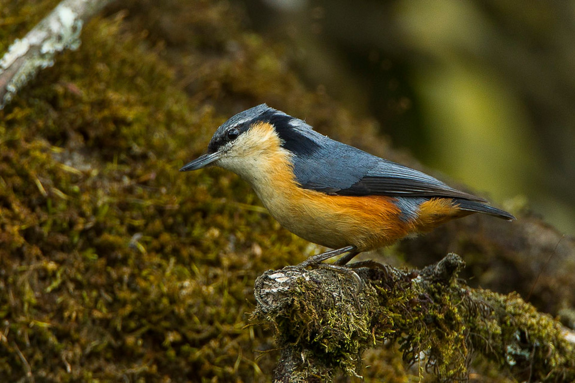 White-tailed Nuthatch 2020