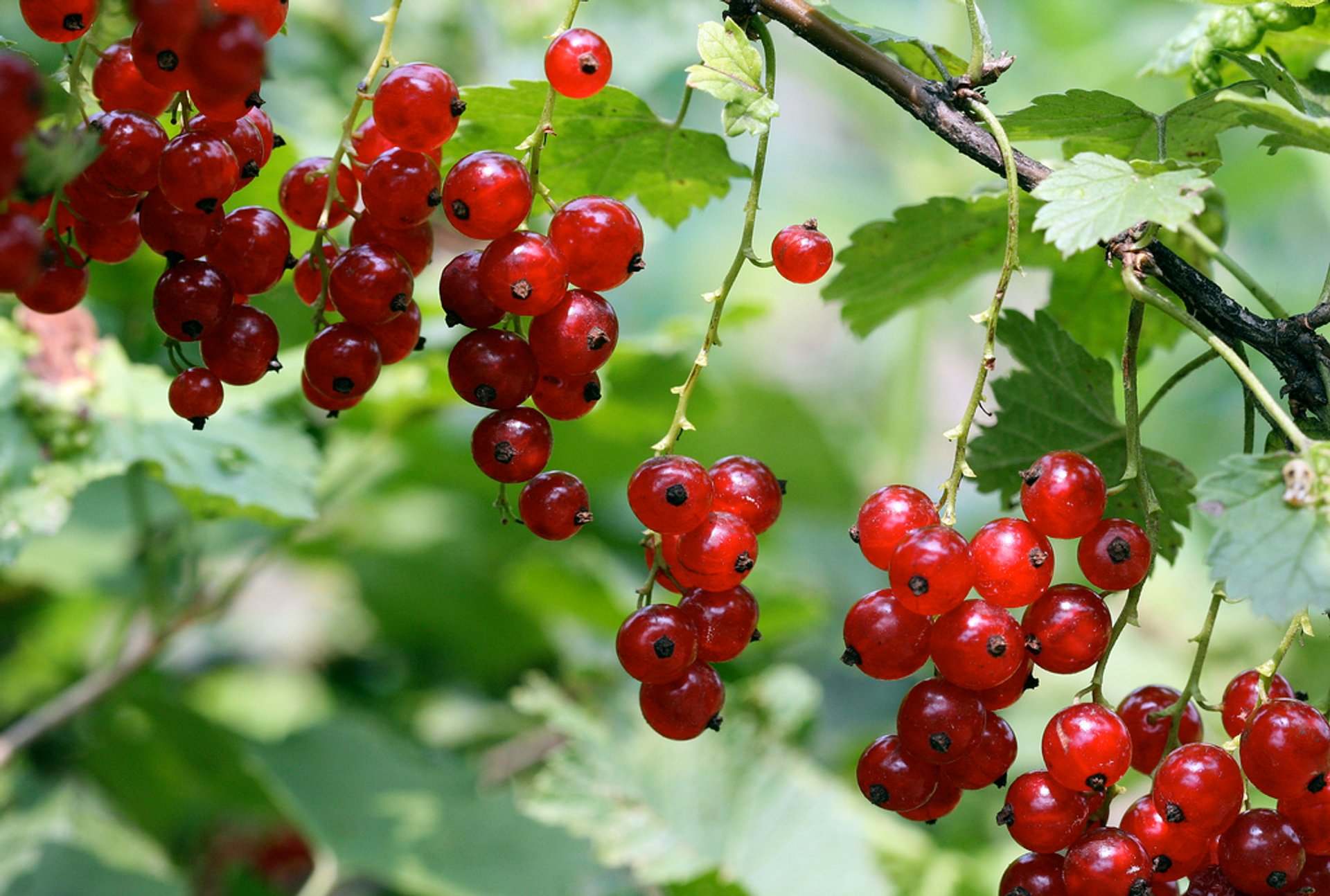 Red and Black Currants or Rips and Solbær in Norway - Best Season