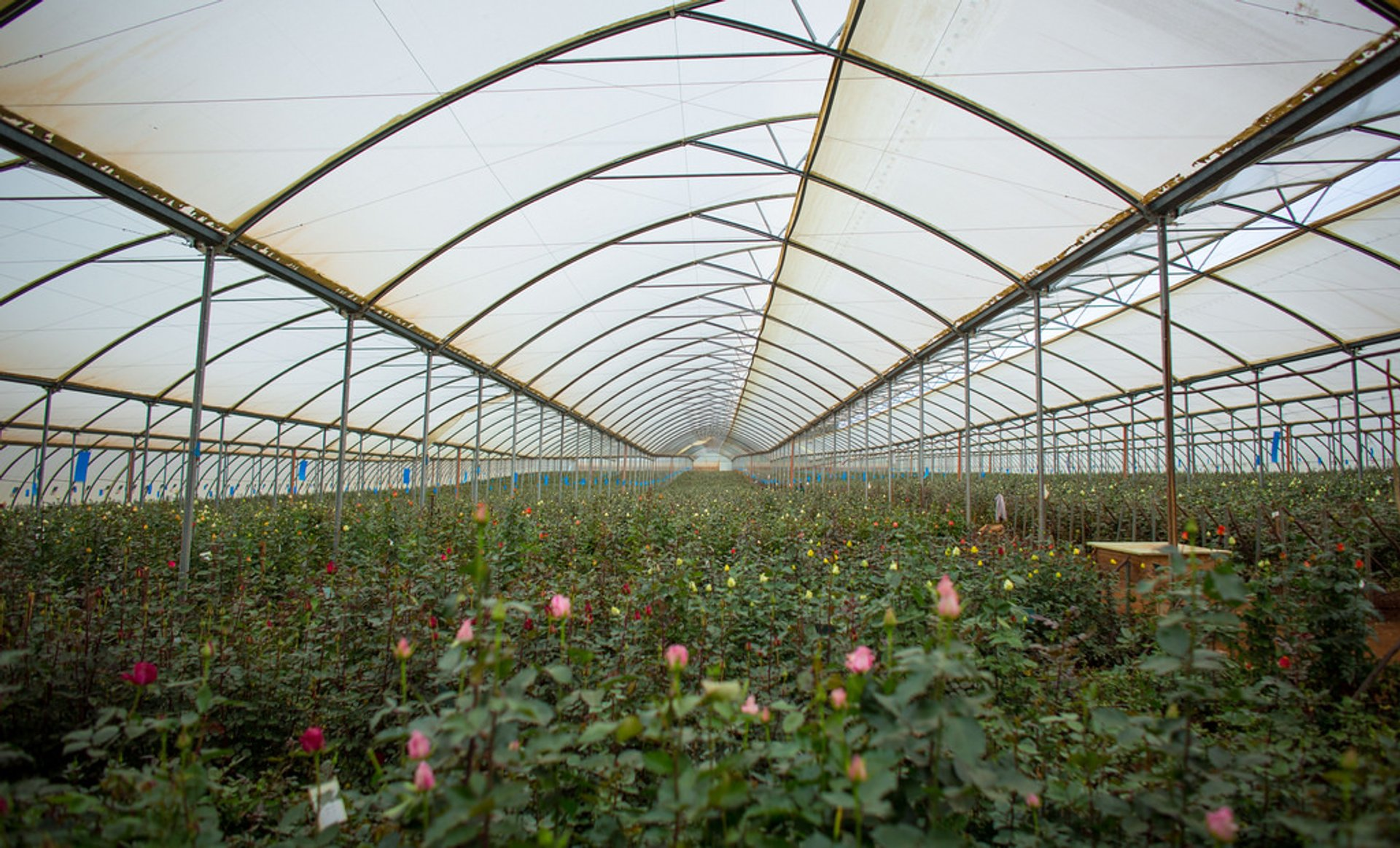 Naivasha Flower Farm in Kenya - Best Season