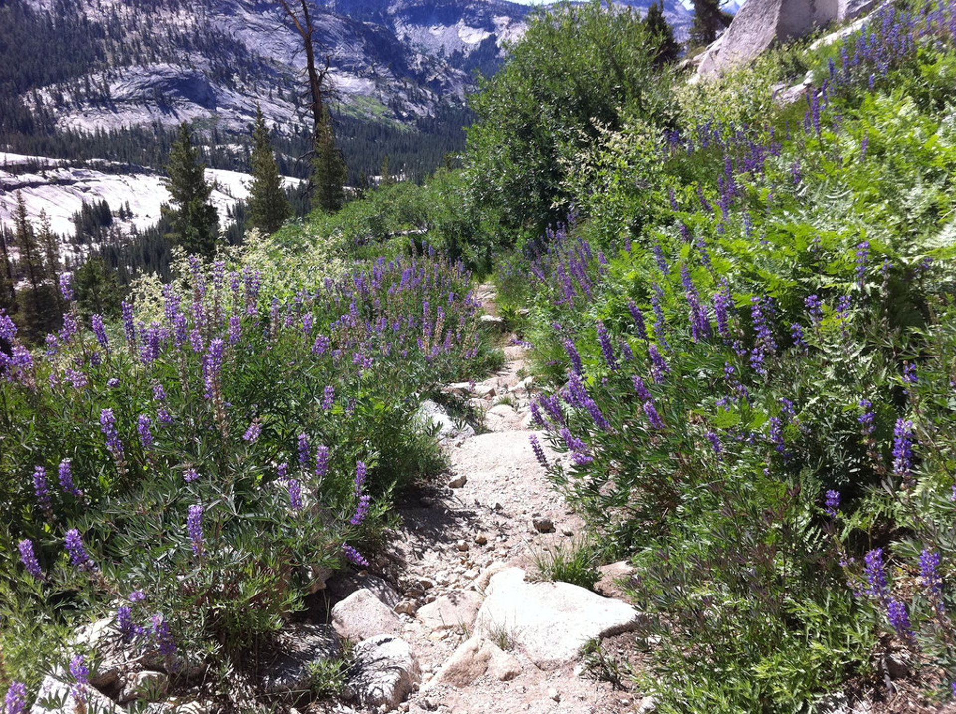 Trailside Lupine