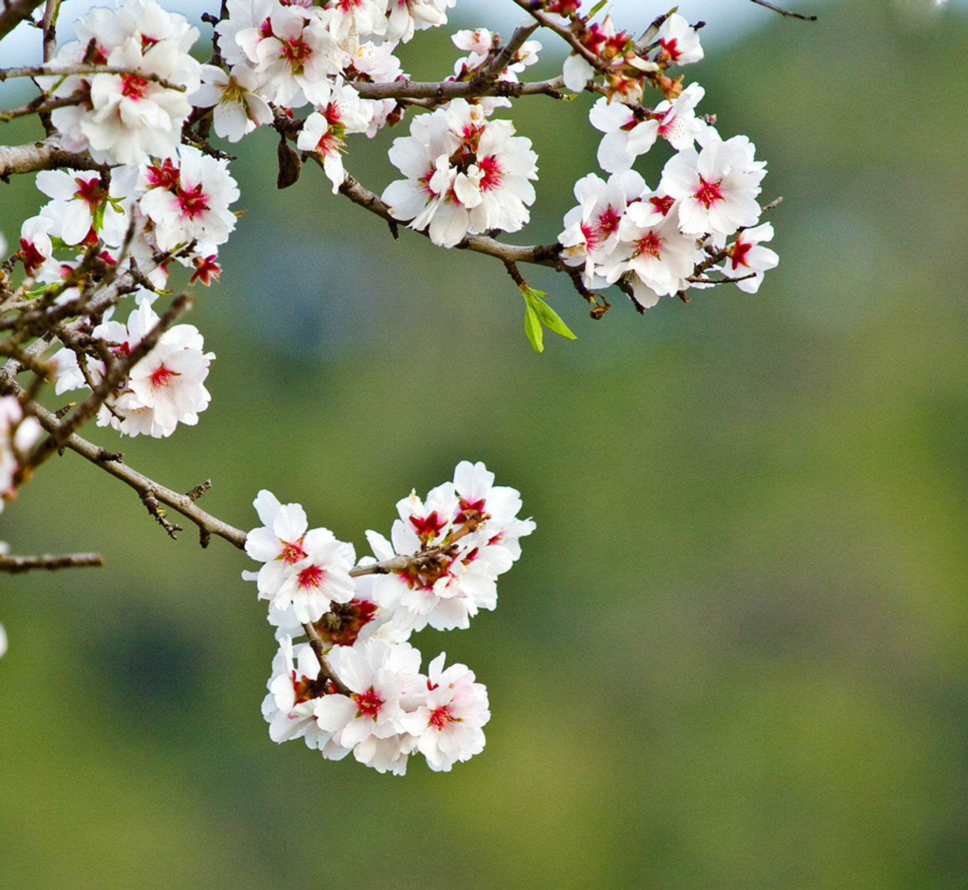 Best time for Almond Blossoms in Ibiza 2020