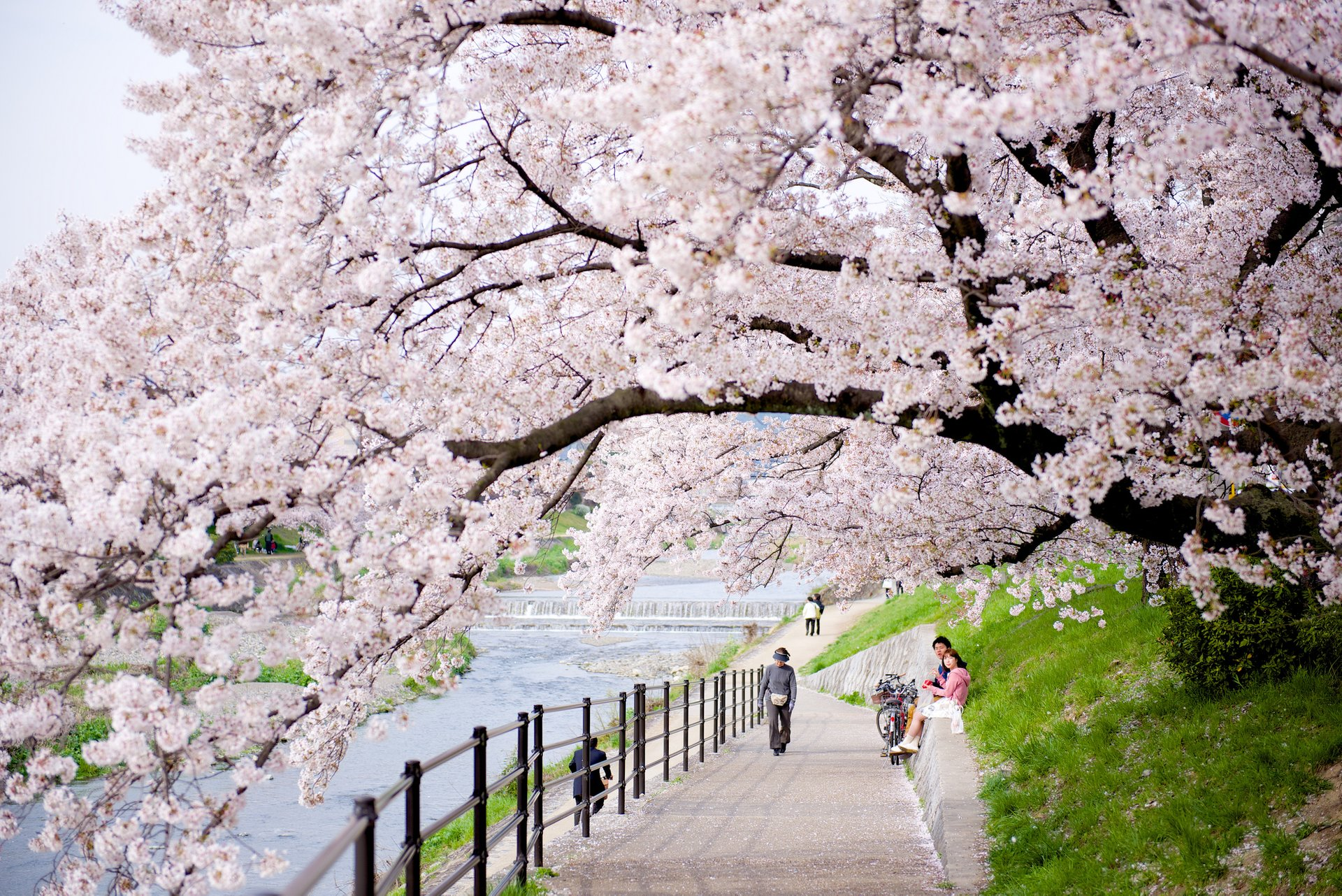 Cherry Blossom in Kyoto 2019 - Best Time