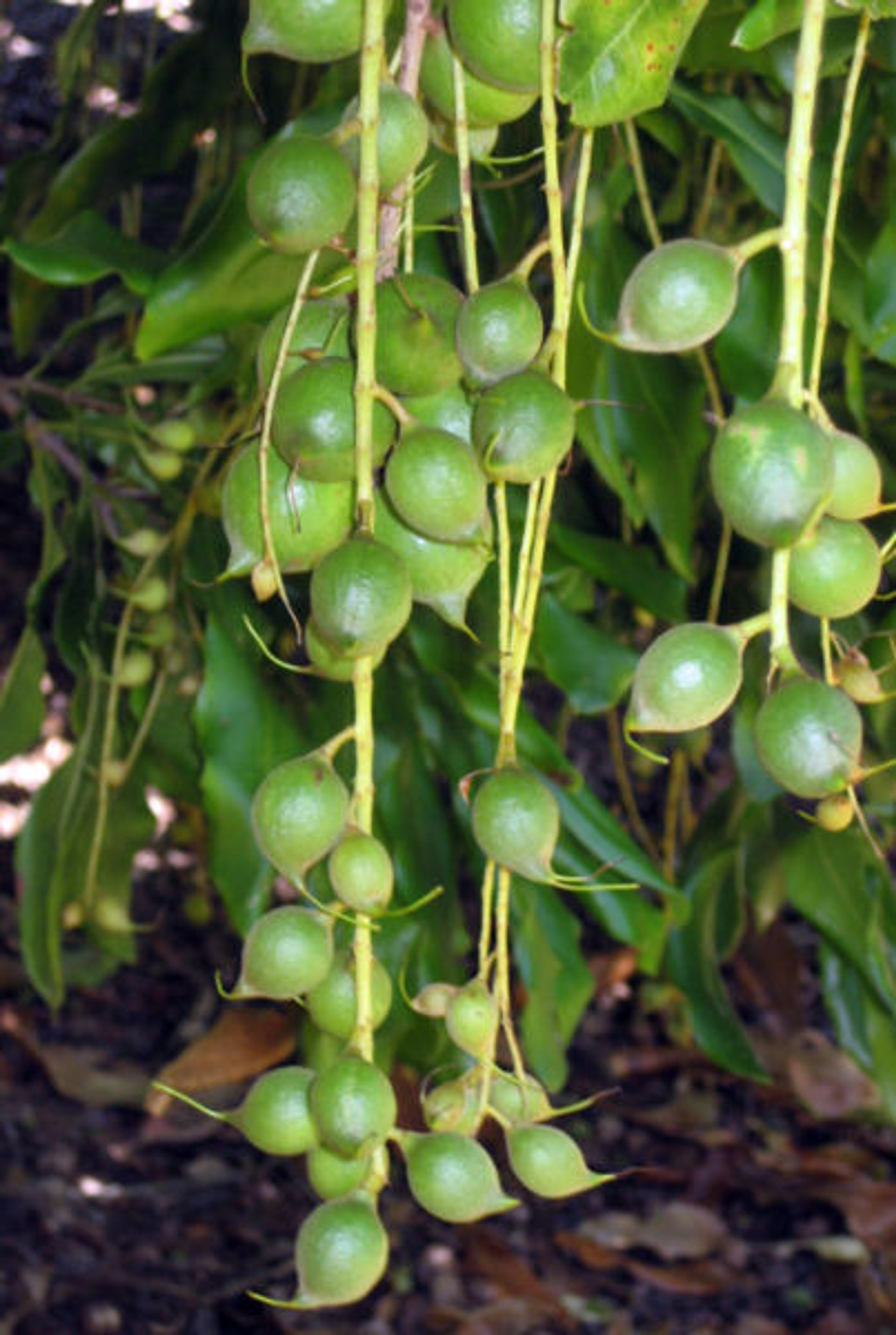 Macadamia Nuts in New Zealand - Best Season 2020