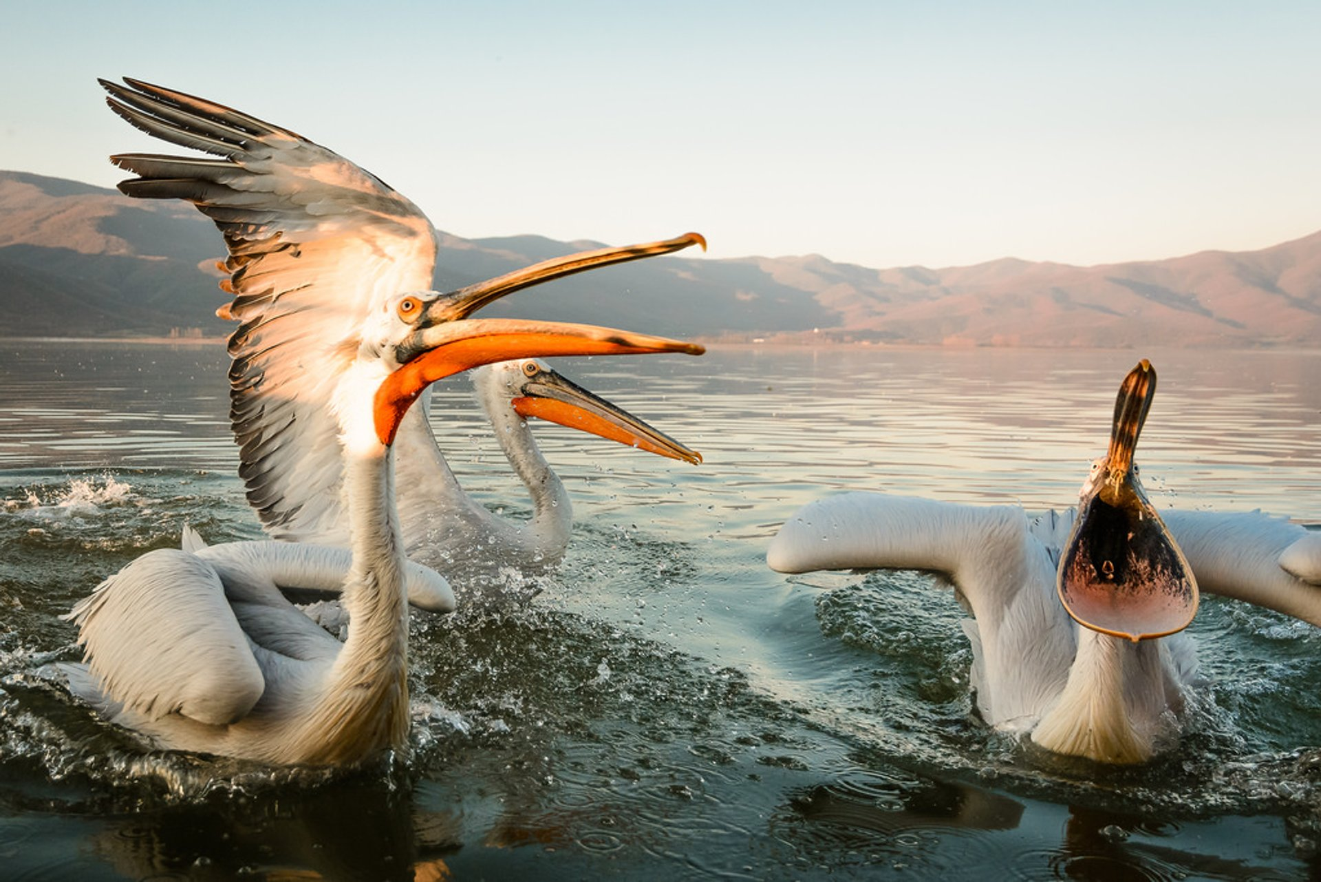 Dalmatian Pelican Breeding Season in Greece - Best Season 2020