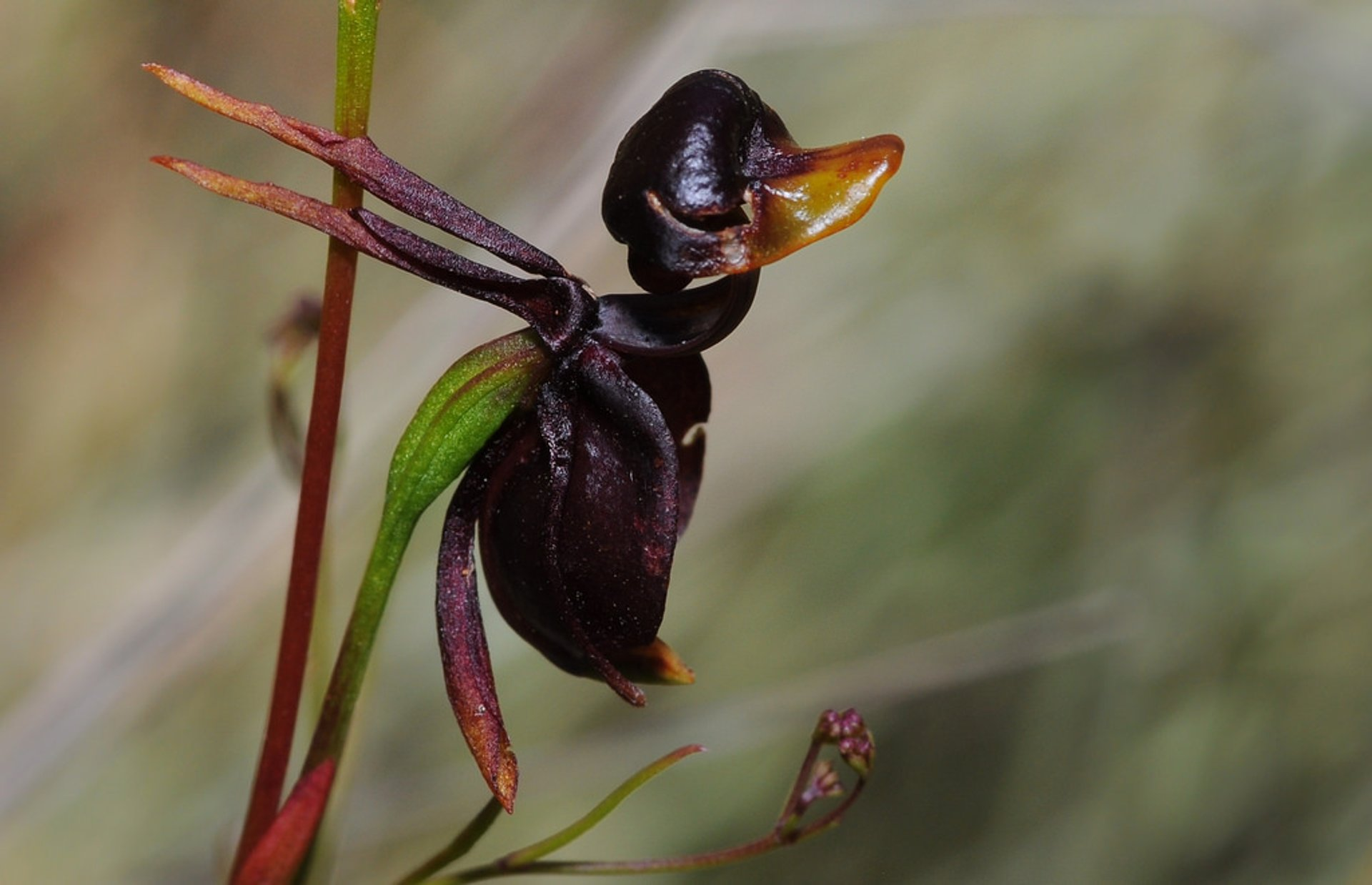 Flying Duck Orchid  in Victoria - Best Season 2019