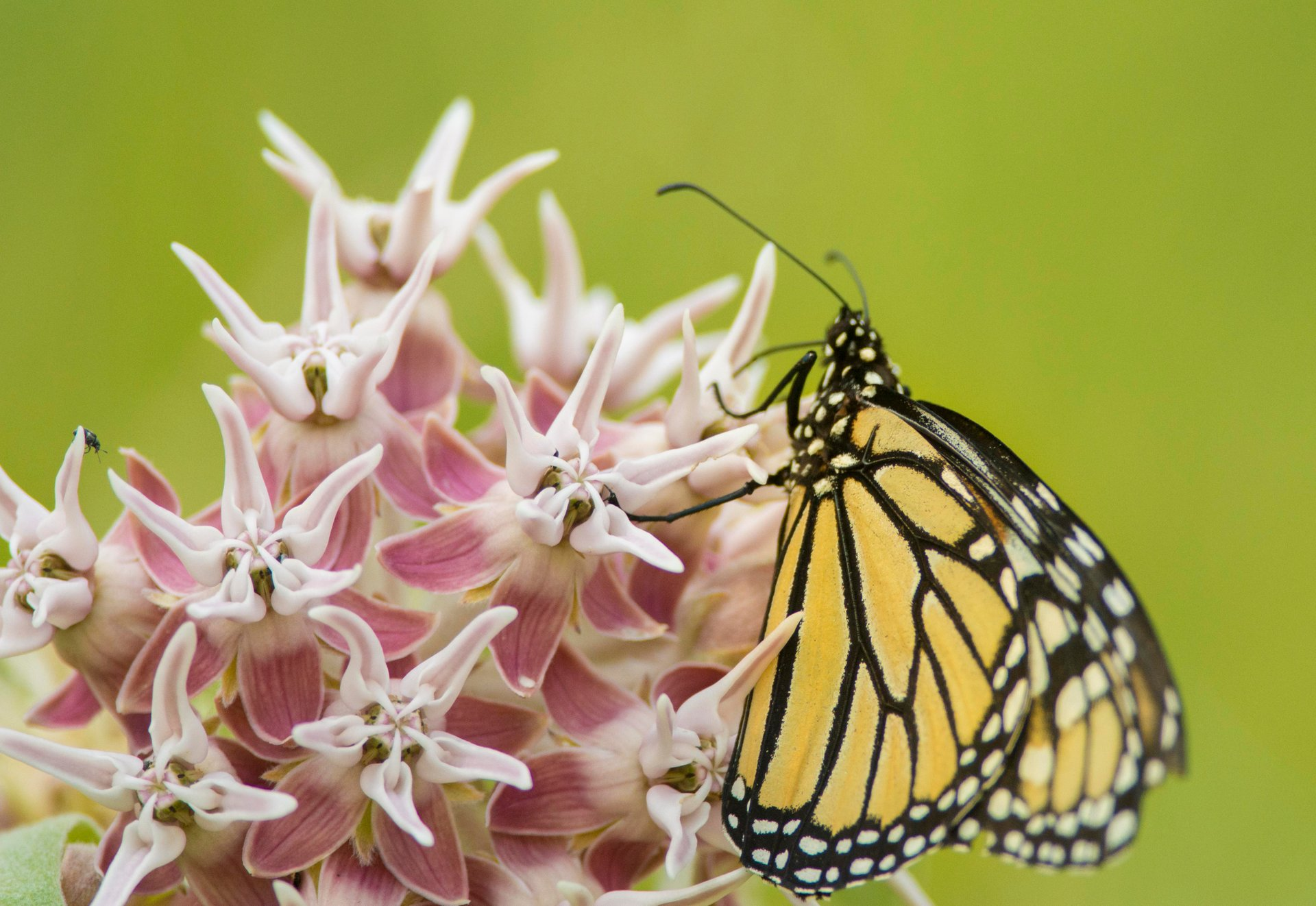 Milkweed and Monarch Butterflies in Yosemite 2020 - Best Time