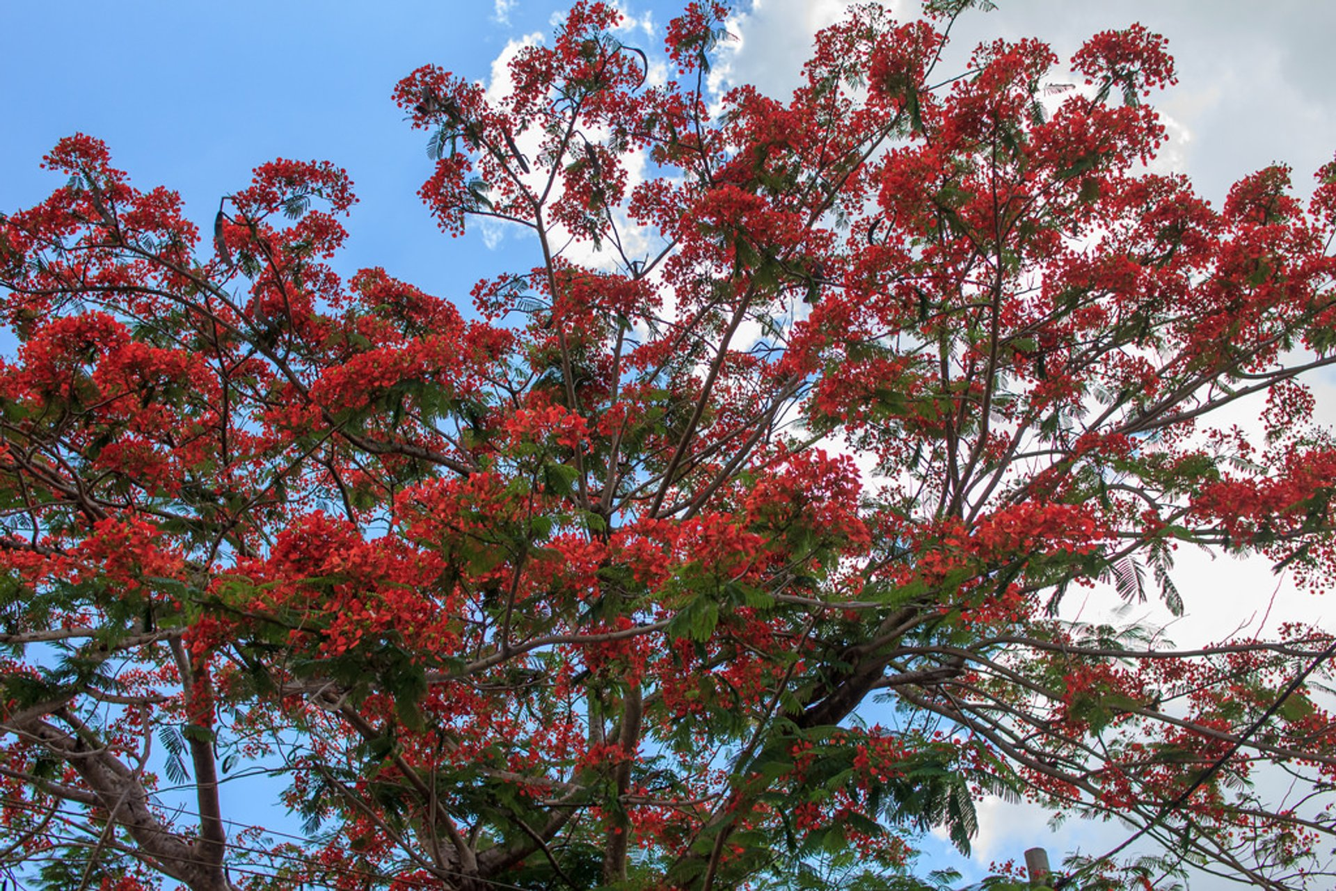 Flamboyant Blooming Season in Vietnam - Best Season 2020