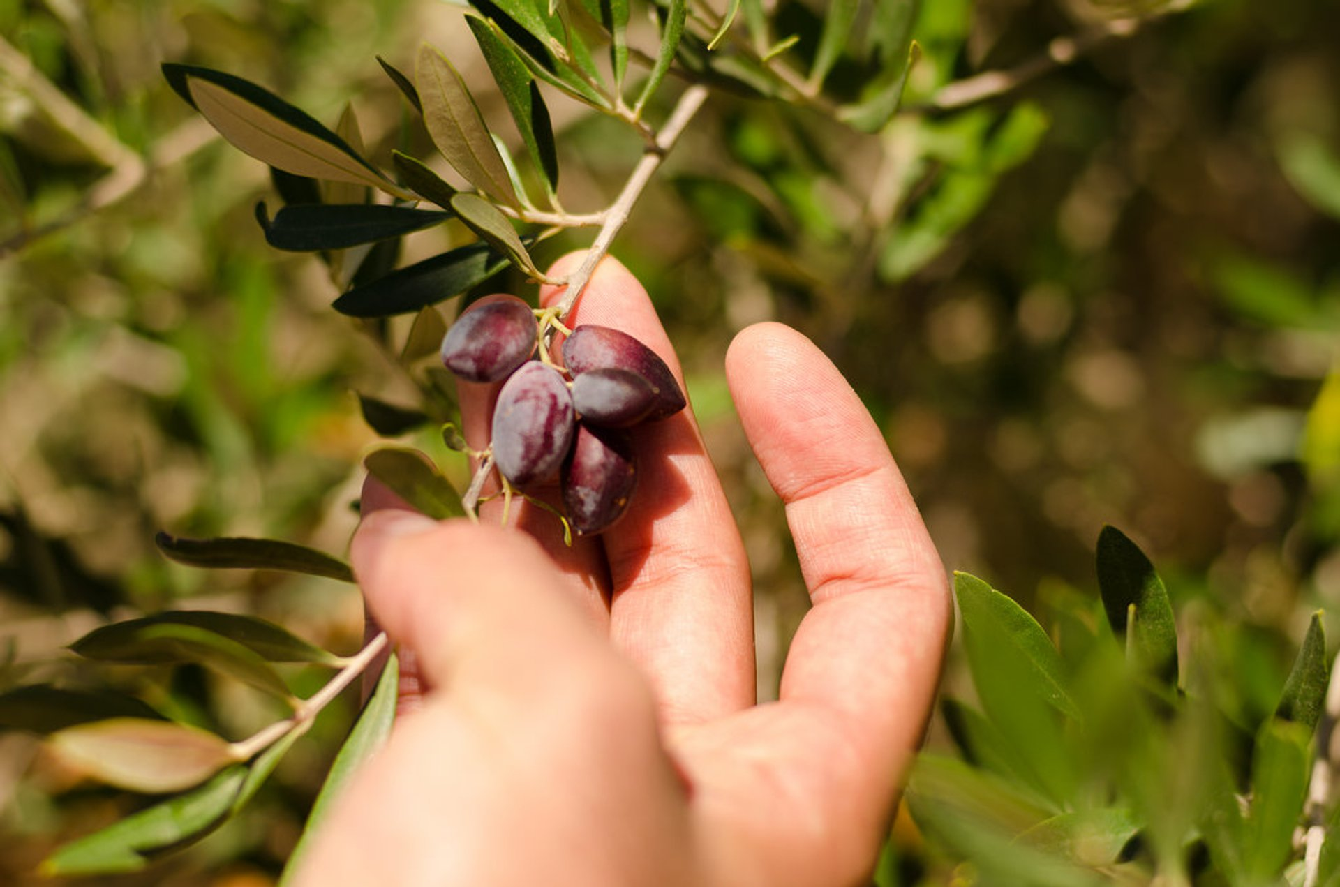 Olive Harvest in Crete - Best Season