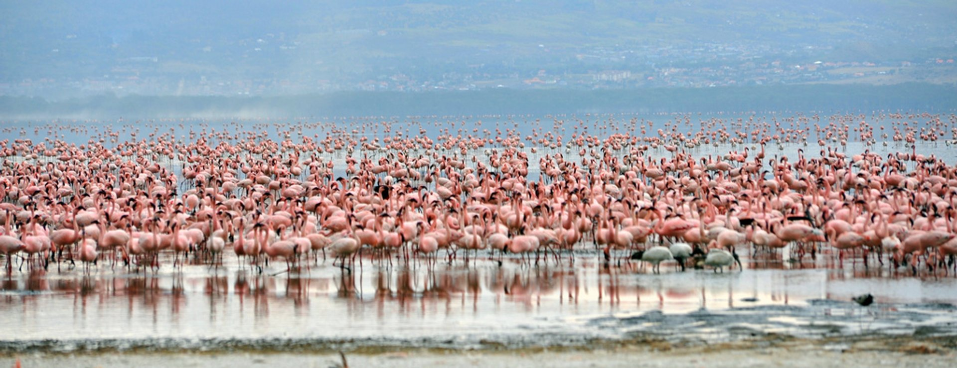 Over 1 million flamingoes in the park literally turn the shores of Lake Nakuru 2019