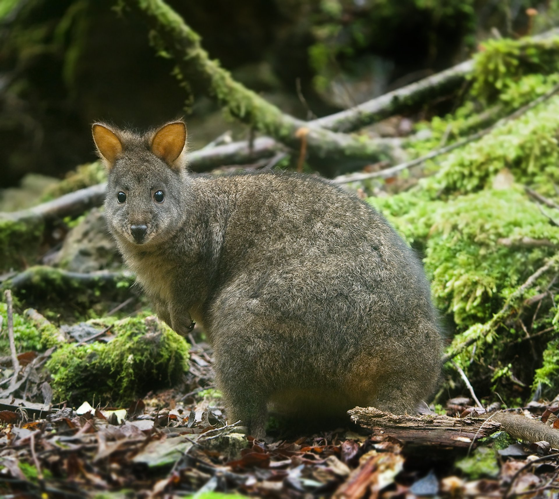 Pademelon in Tasmania - Best Season 2019