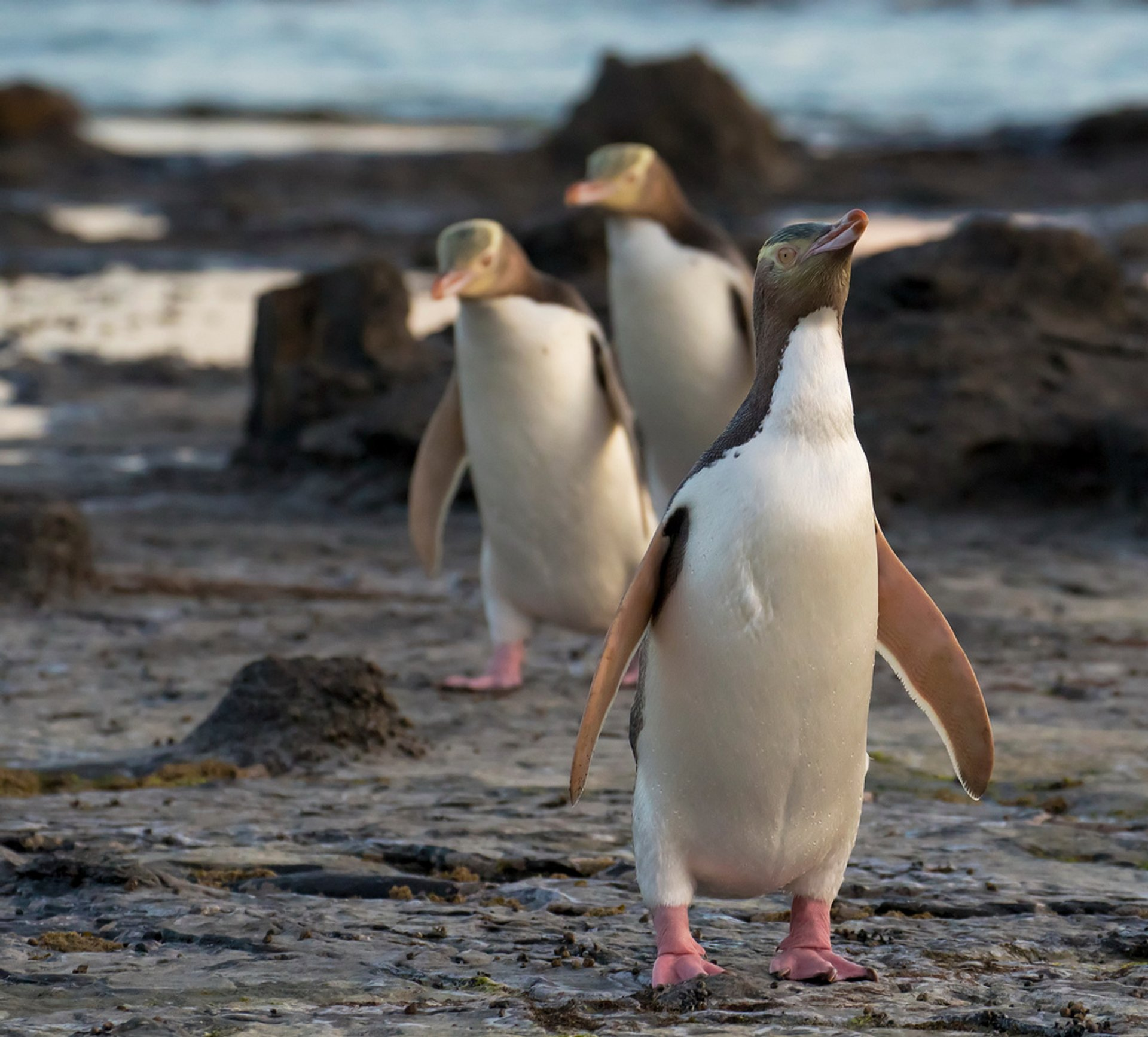 Best time to see Hoiho–Yellow-Eyed Penguin in New Zealand