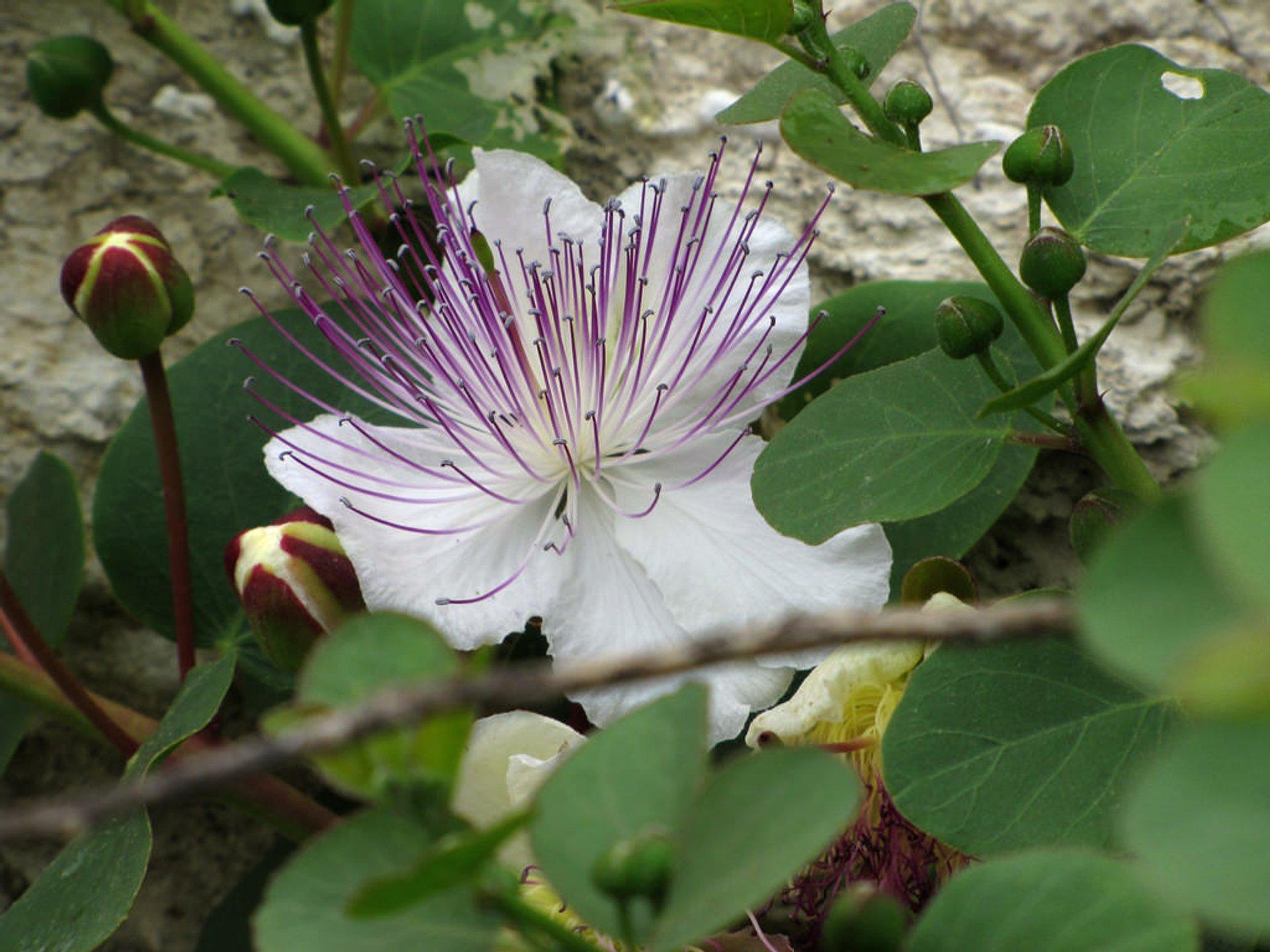 Caper bush 2019