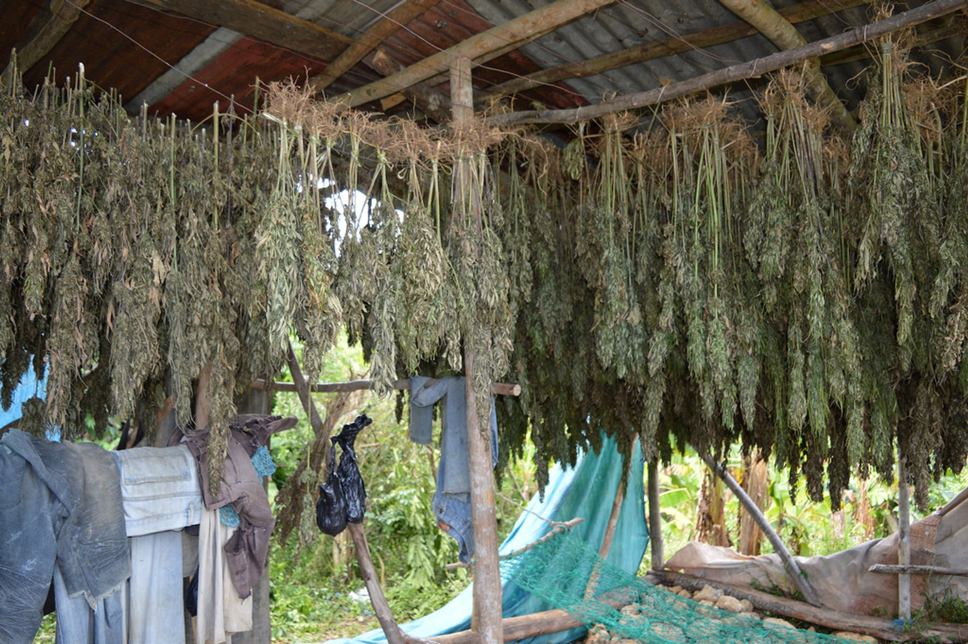 Best time for Ganja Farms in Jamaica 2020