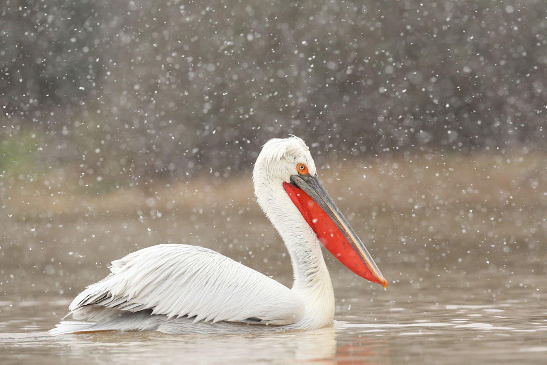 Best time for Dalmatian Pelican Breeding Season in Greece 2020