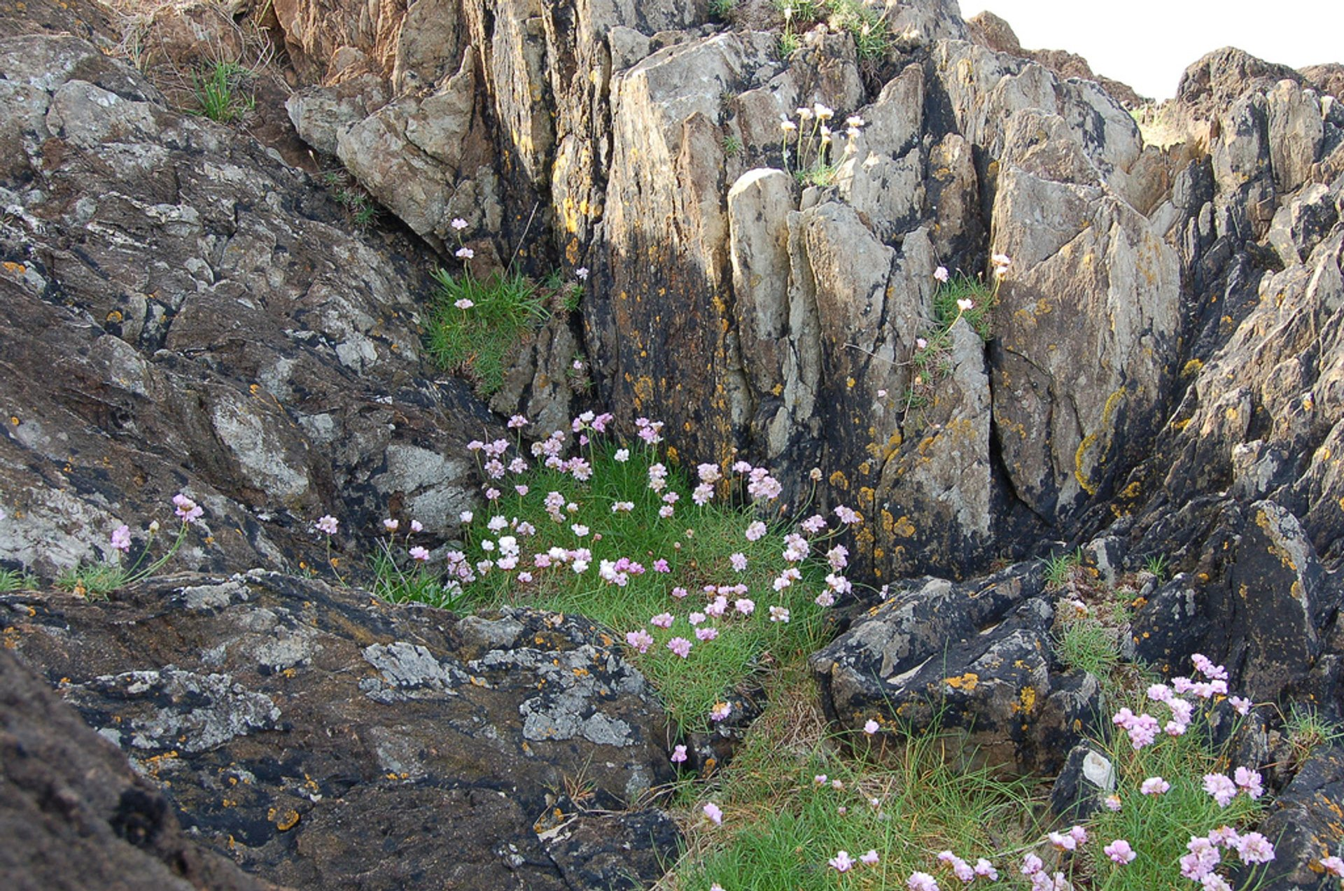 Sea Pinks Blooming Season in Ireland - Best Season 2019