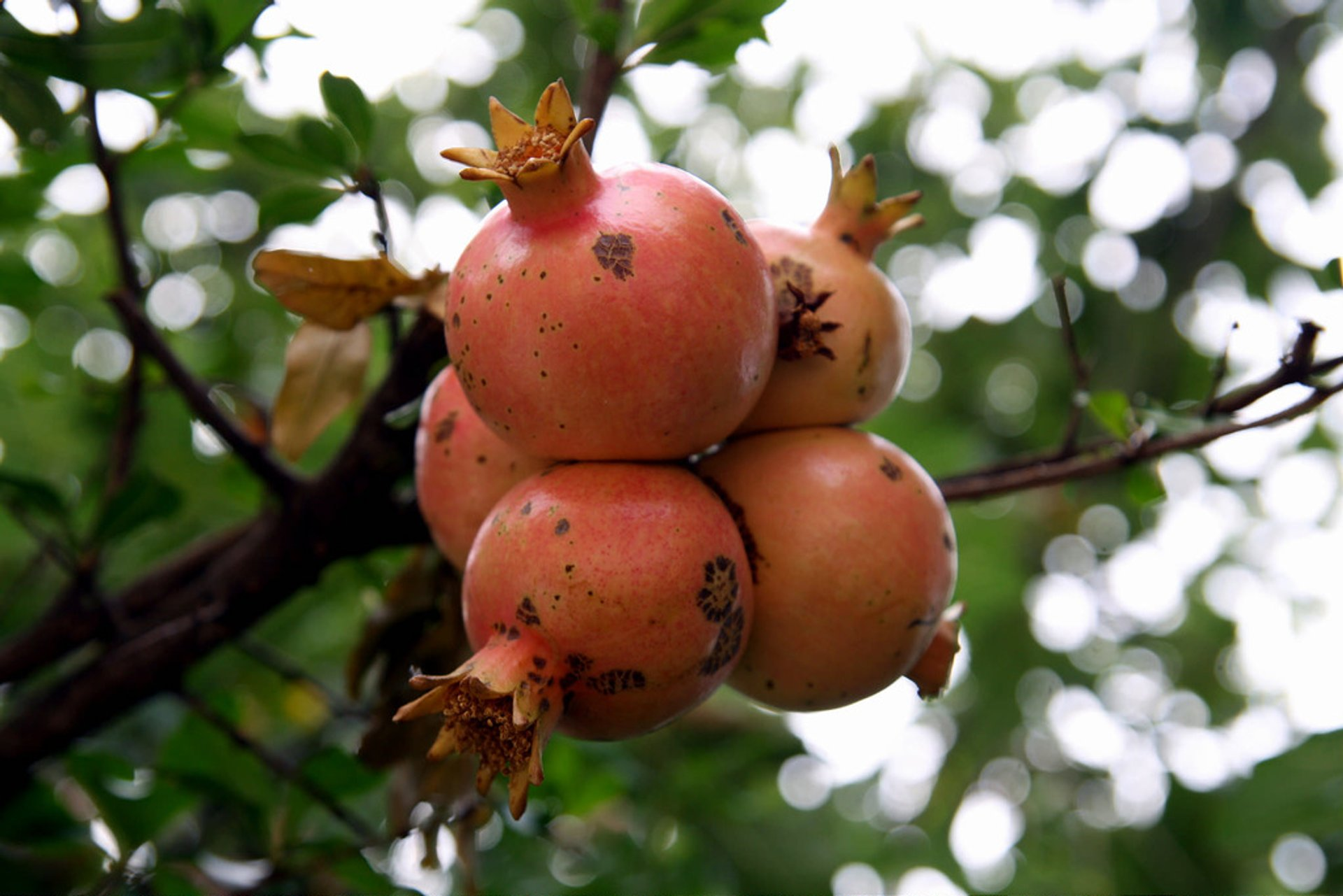 Pomegranate in Montenegro - Best Season 2020