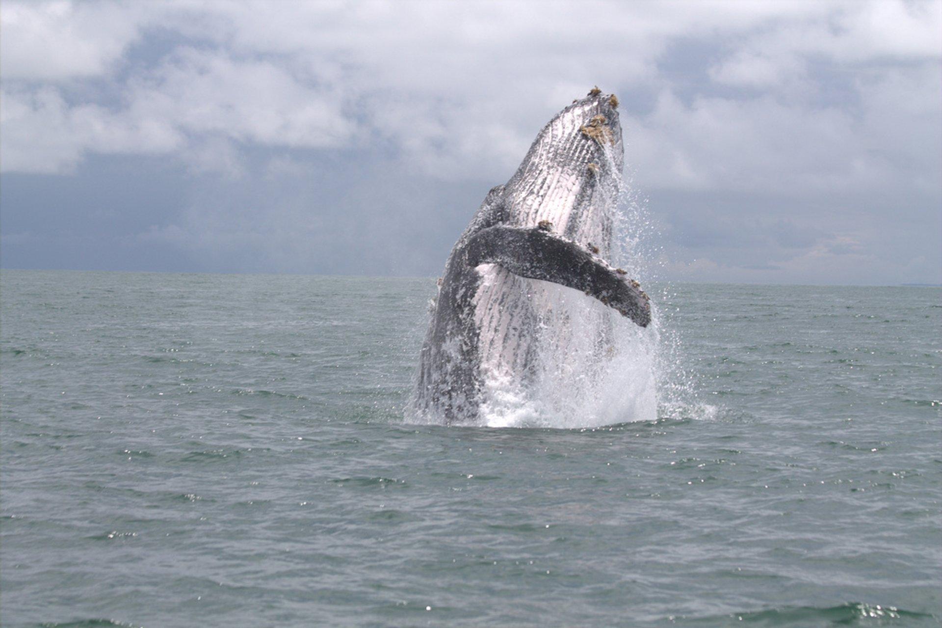 Ballena Jorobada or Humpack Whale 2020