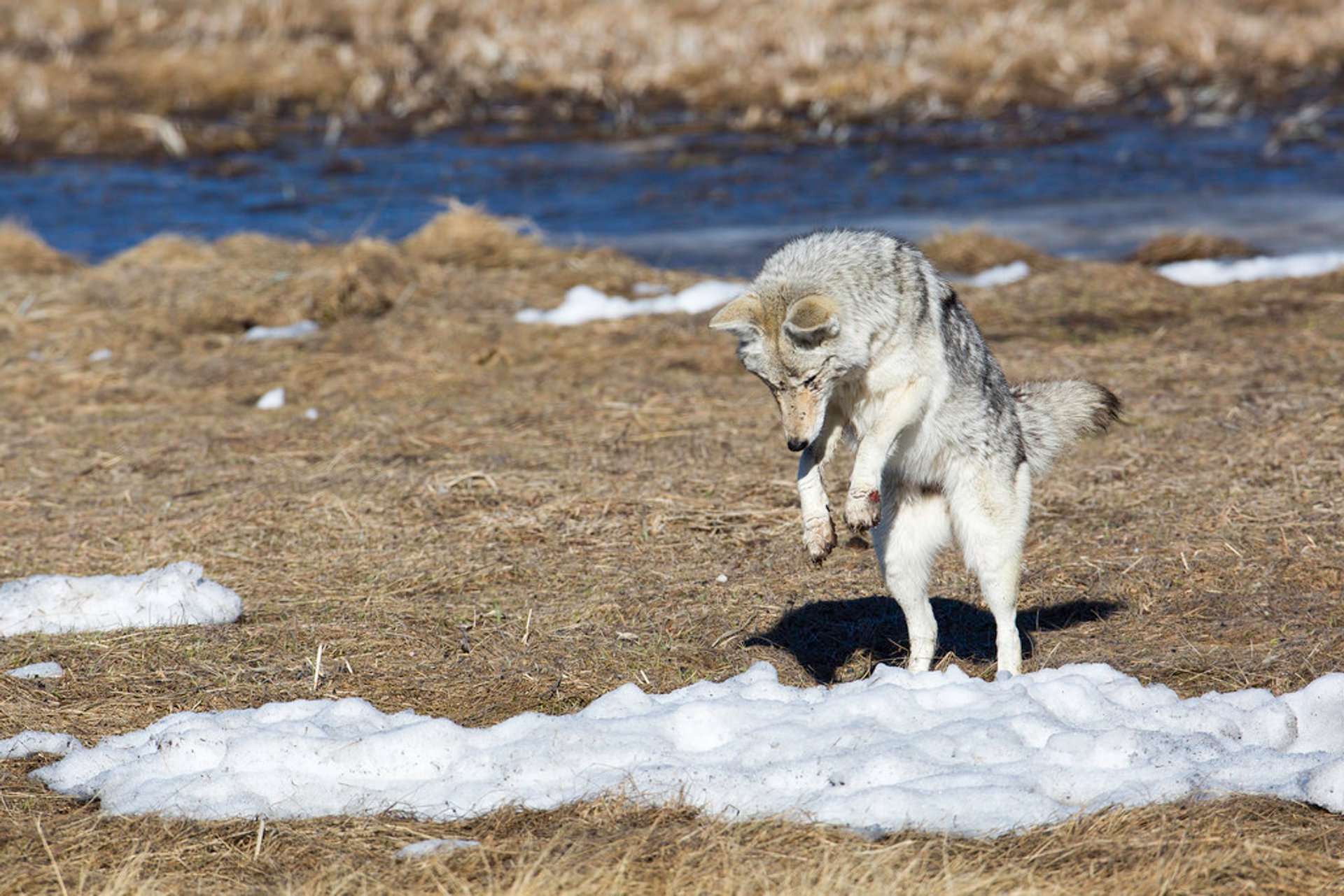 Best time for Coyotes in Yellowstone National Park 2019