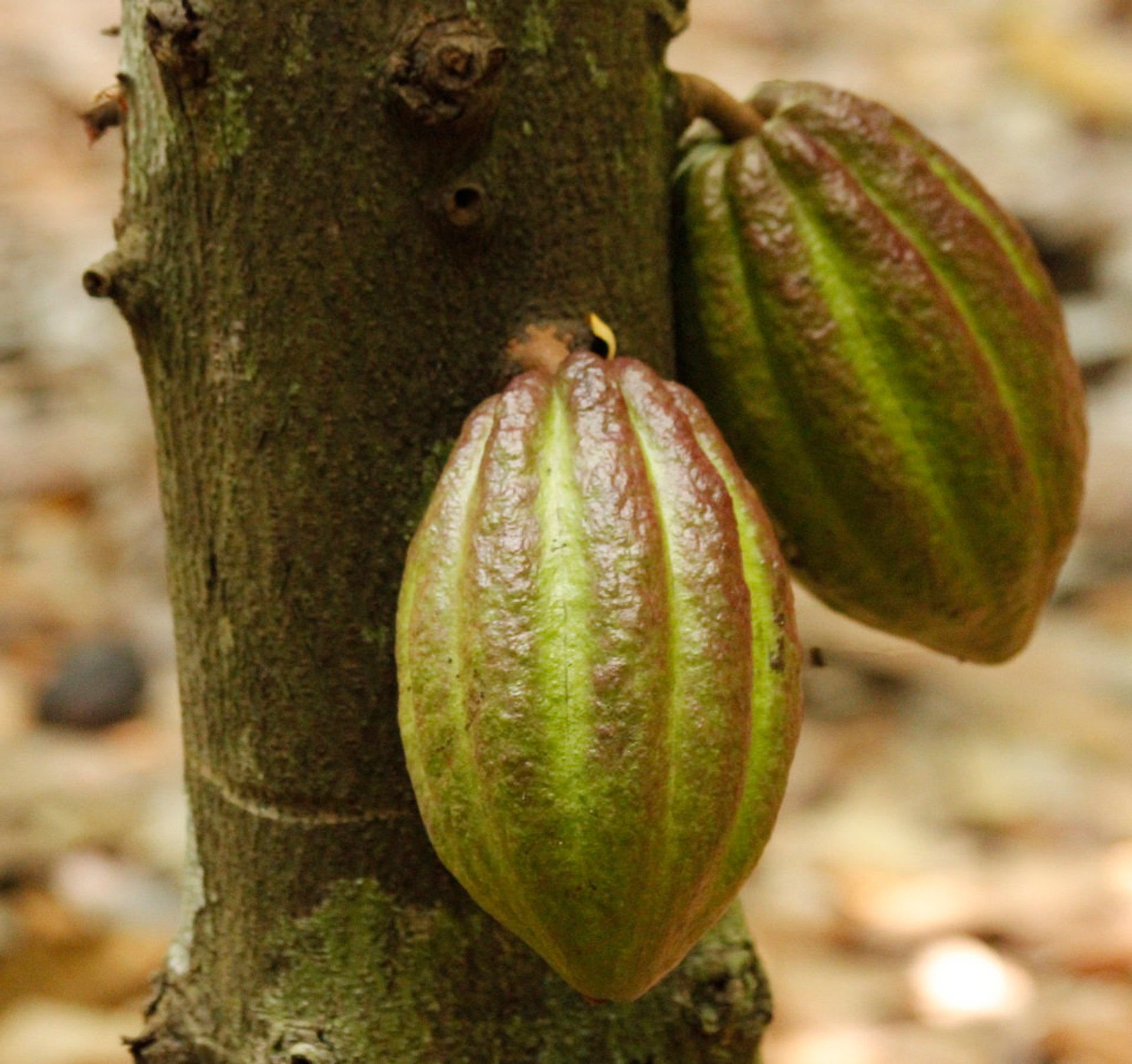 Cocoa pods at the plantation in Anikfy, Madagascar 2019