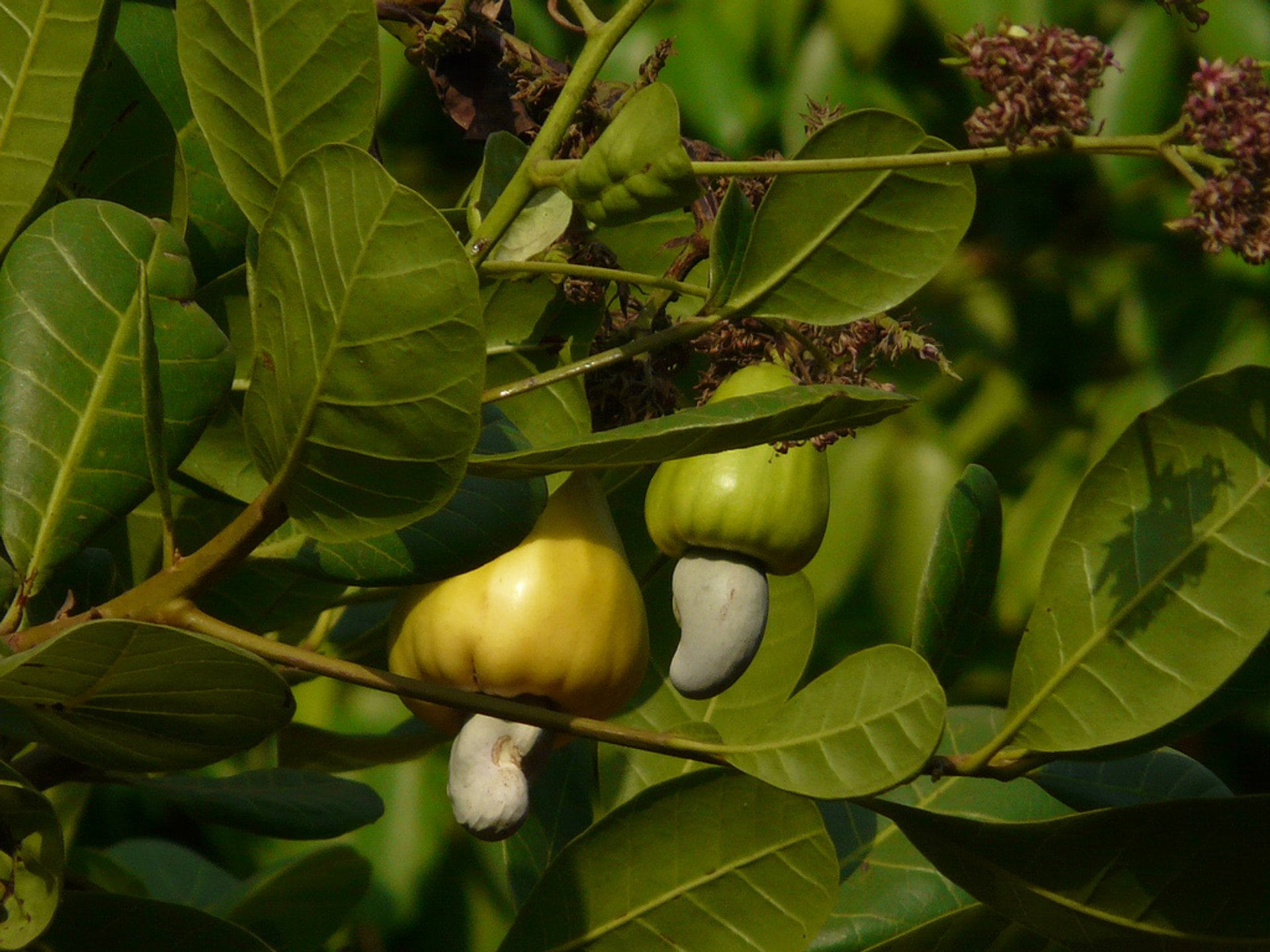Cashew Fruit in Honduras 2019 - Best Time