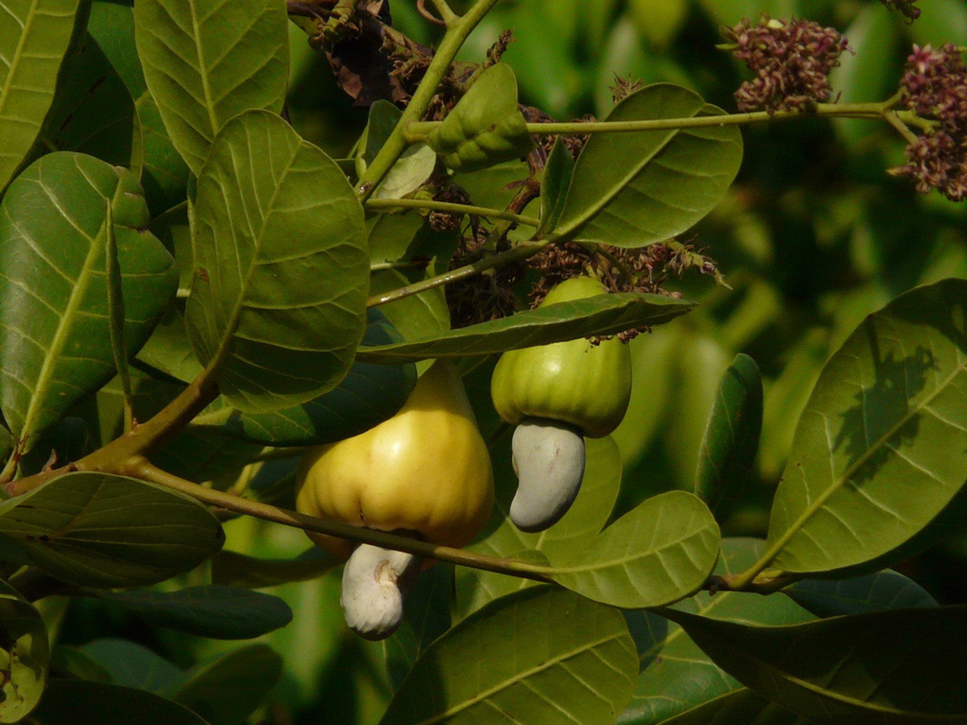 Cashew Fruit in Honduras 2020 - Best Time