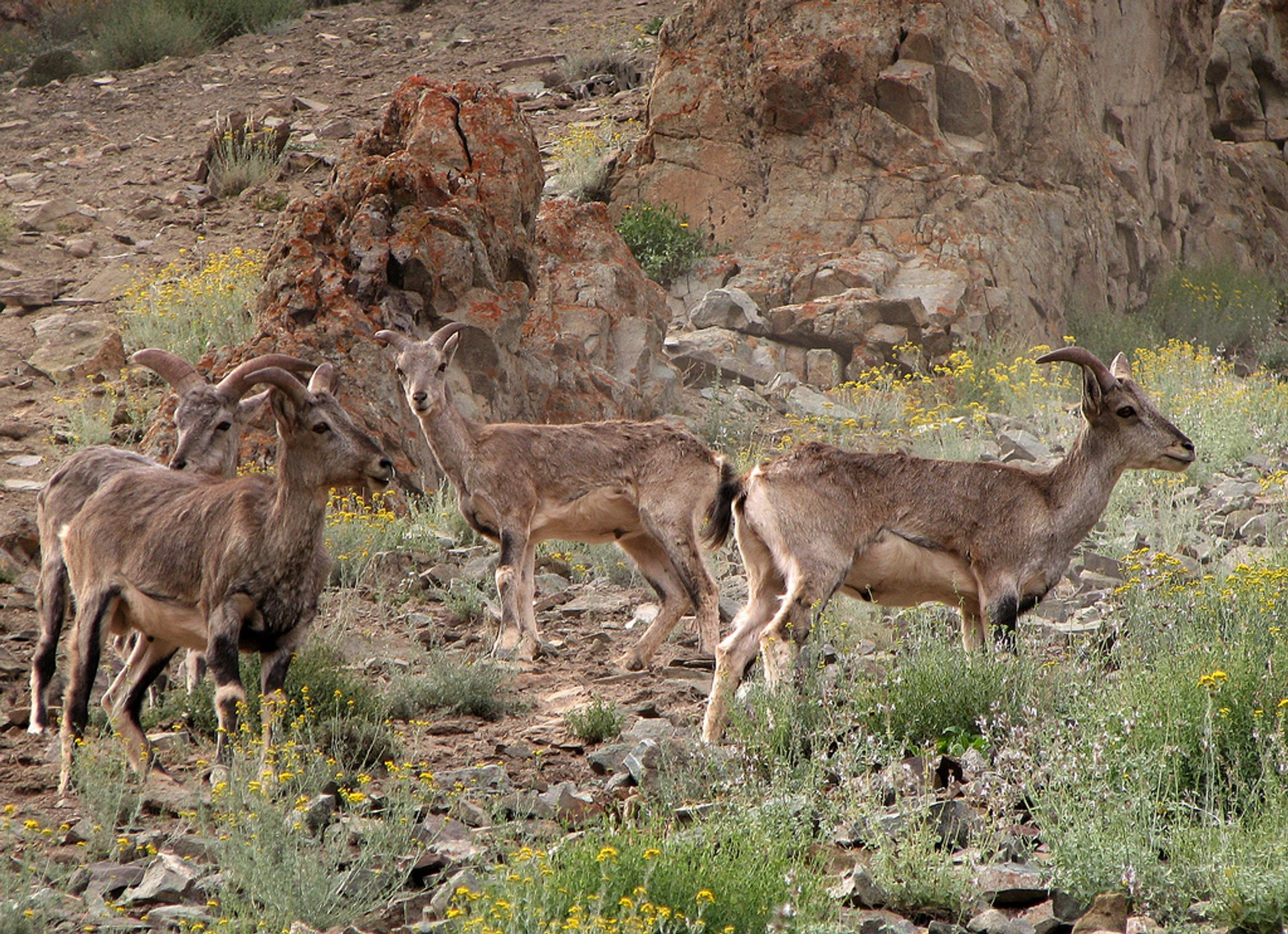 Blue sheep roaming around the Hemis National Park 2020