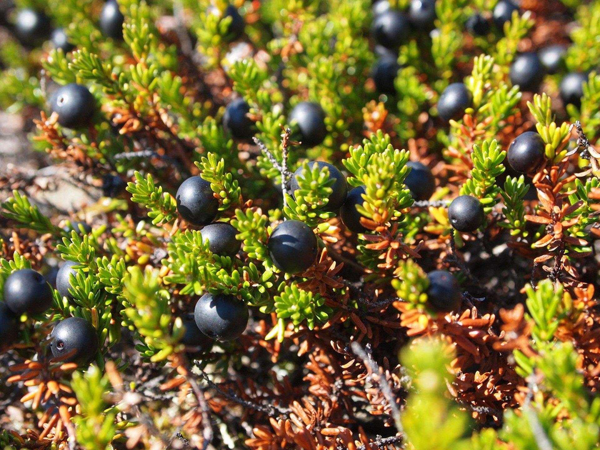 Arctic blackberries (Empetrum nigrum)