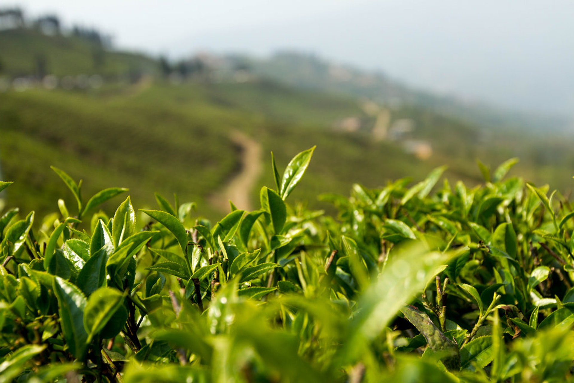 Nepal Tea Harvest Season in Nepal - Best Time