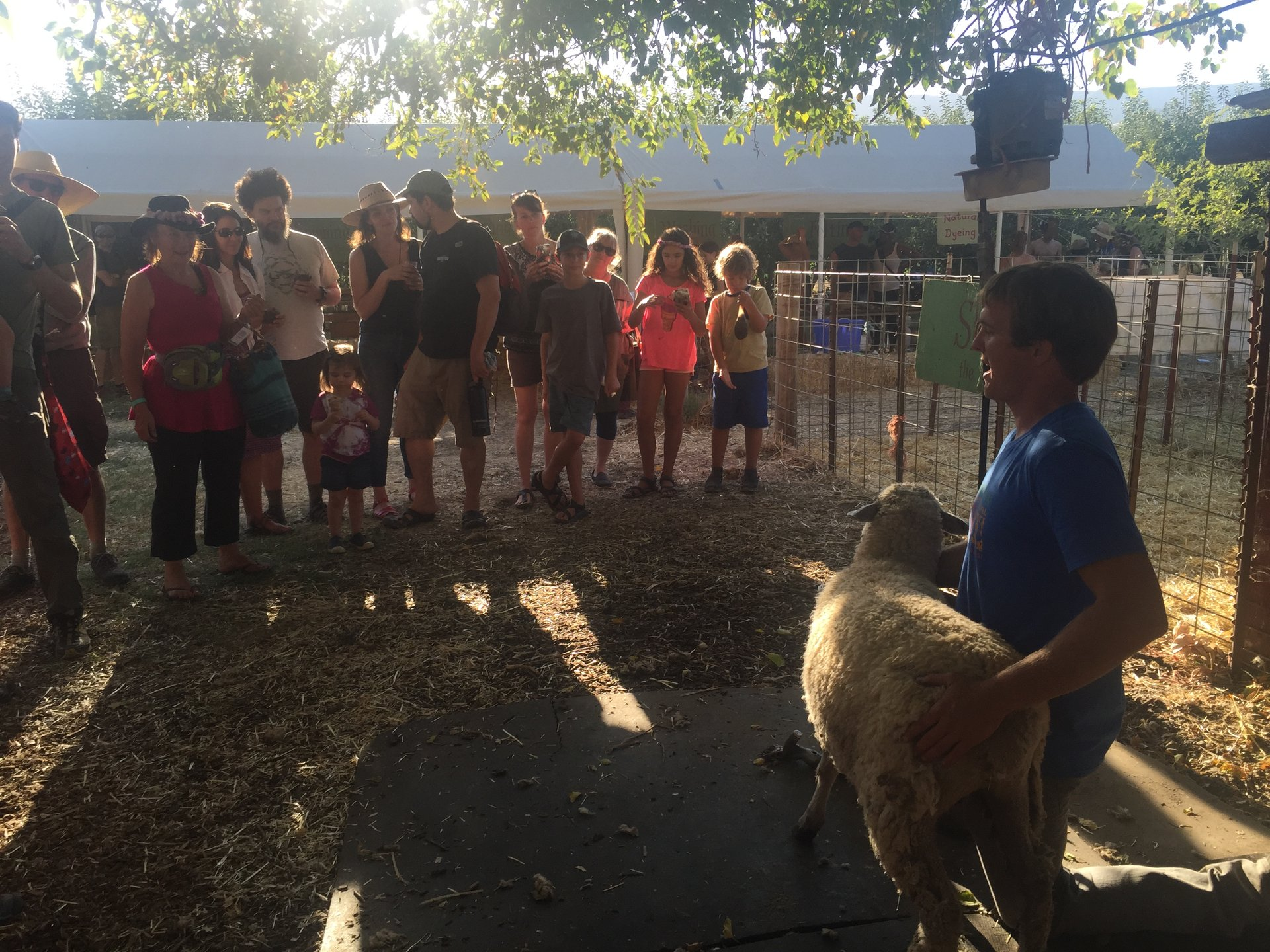 Demonstration of sheep shearing 2020