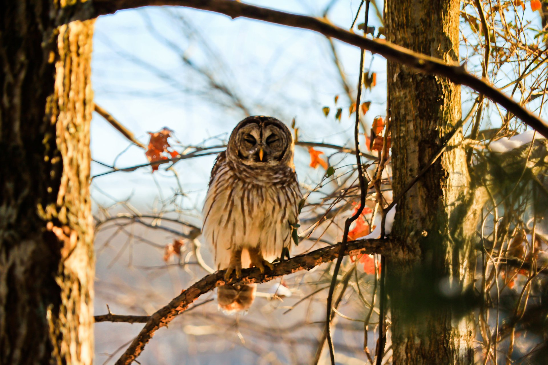 Barred owl at Radnor Lake State Park 2020