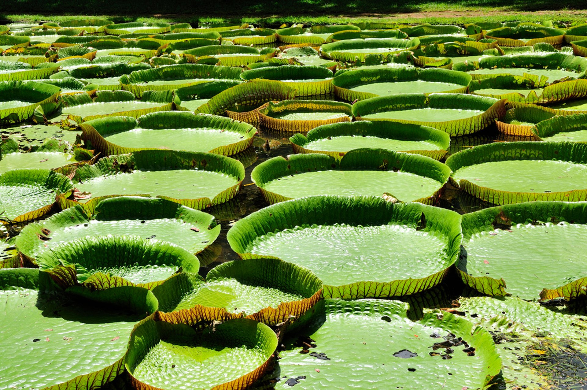 Giant Water Lilies in Mauritius - Best Season