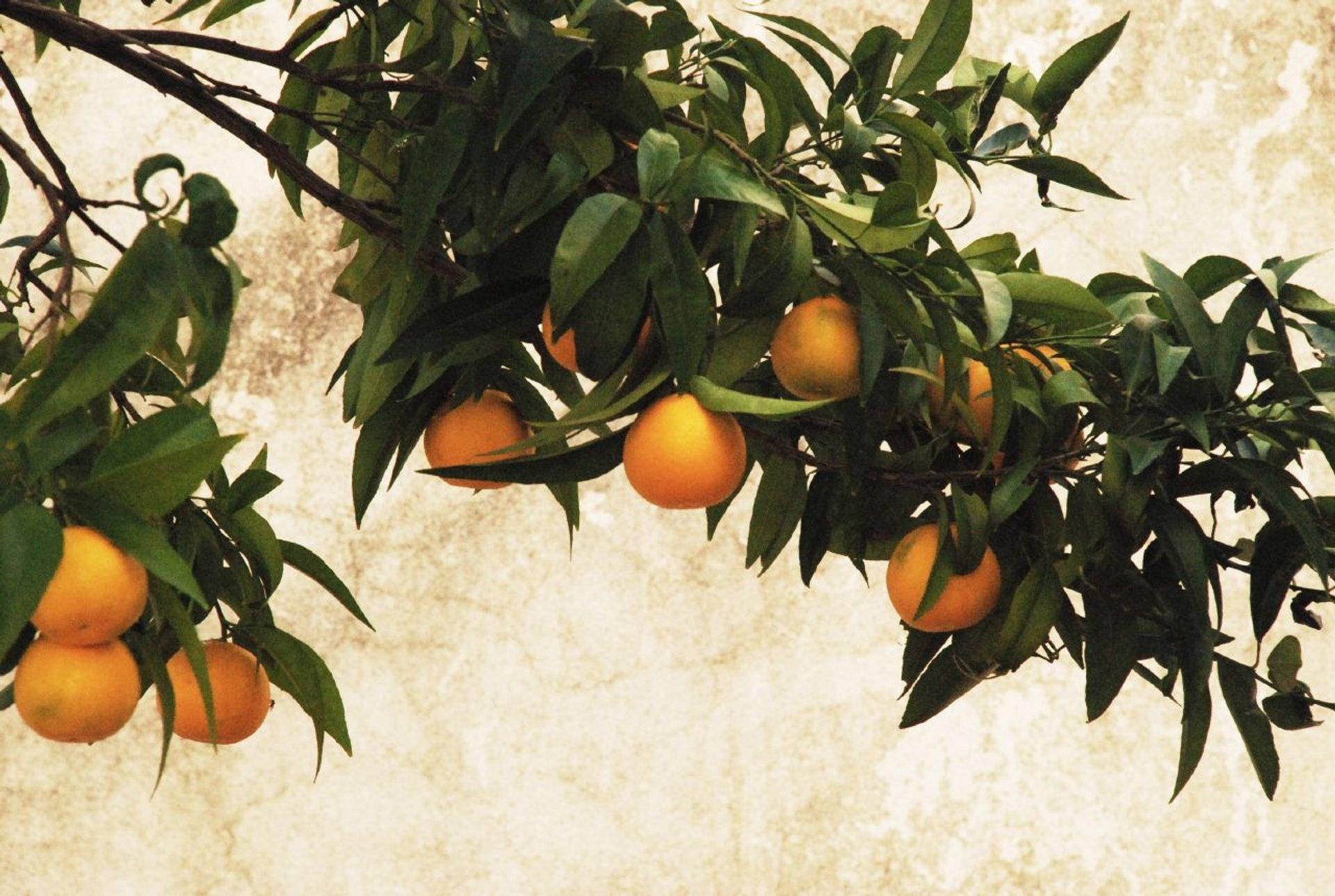 Best time for Orange Harvest in Portugal 2020