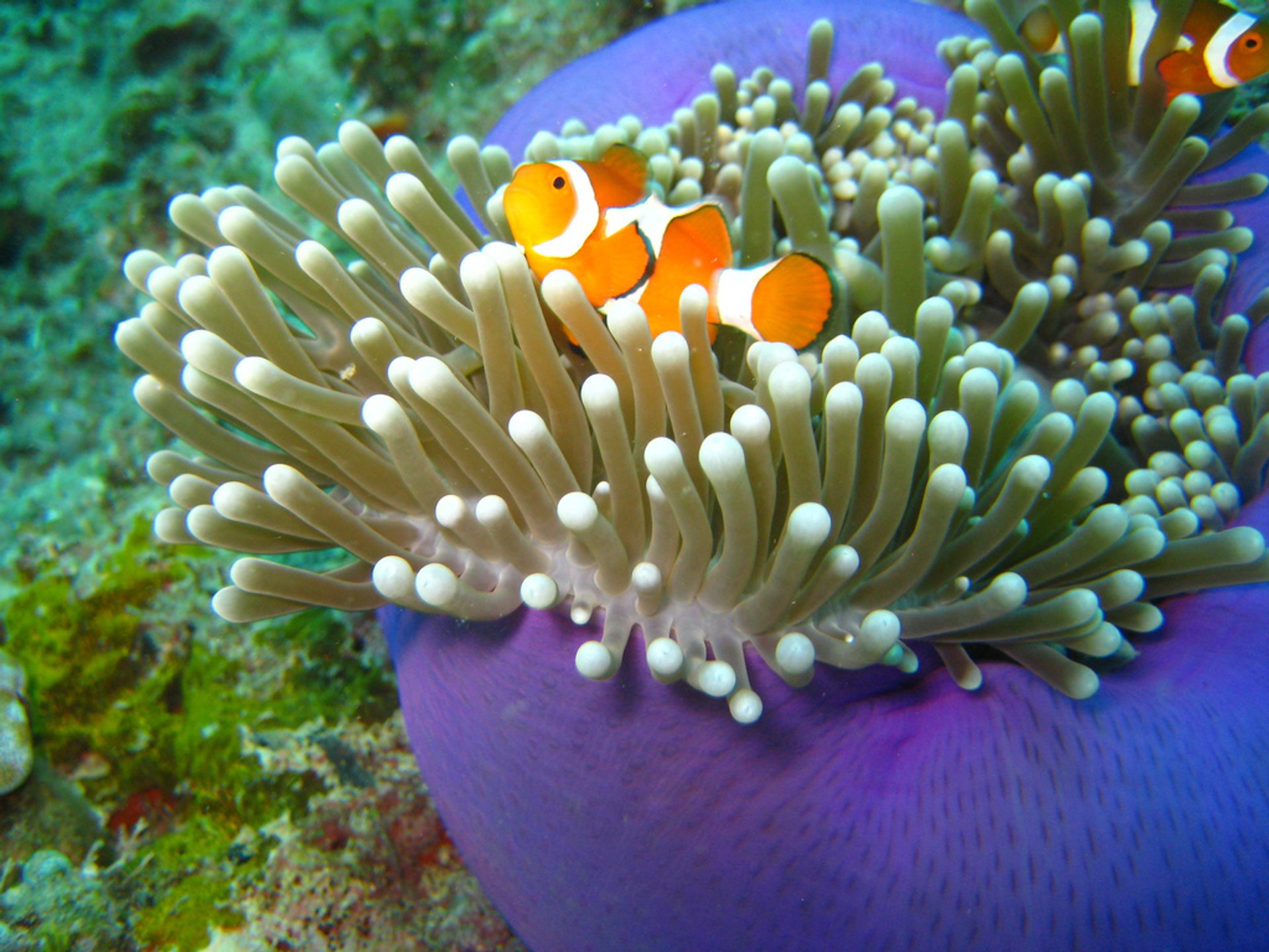 Clownfish off the Sipadan Island 2019