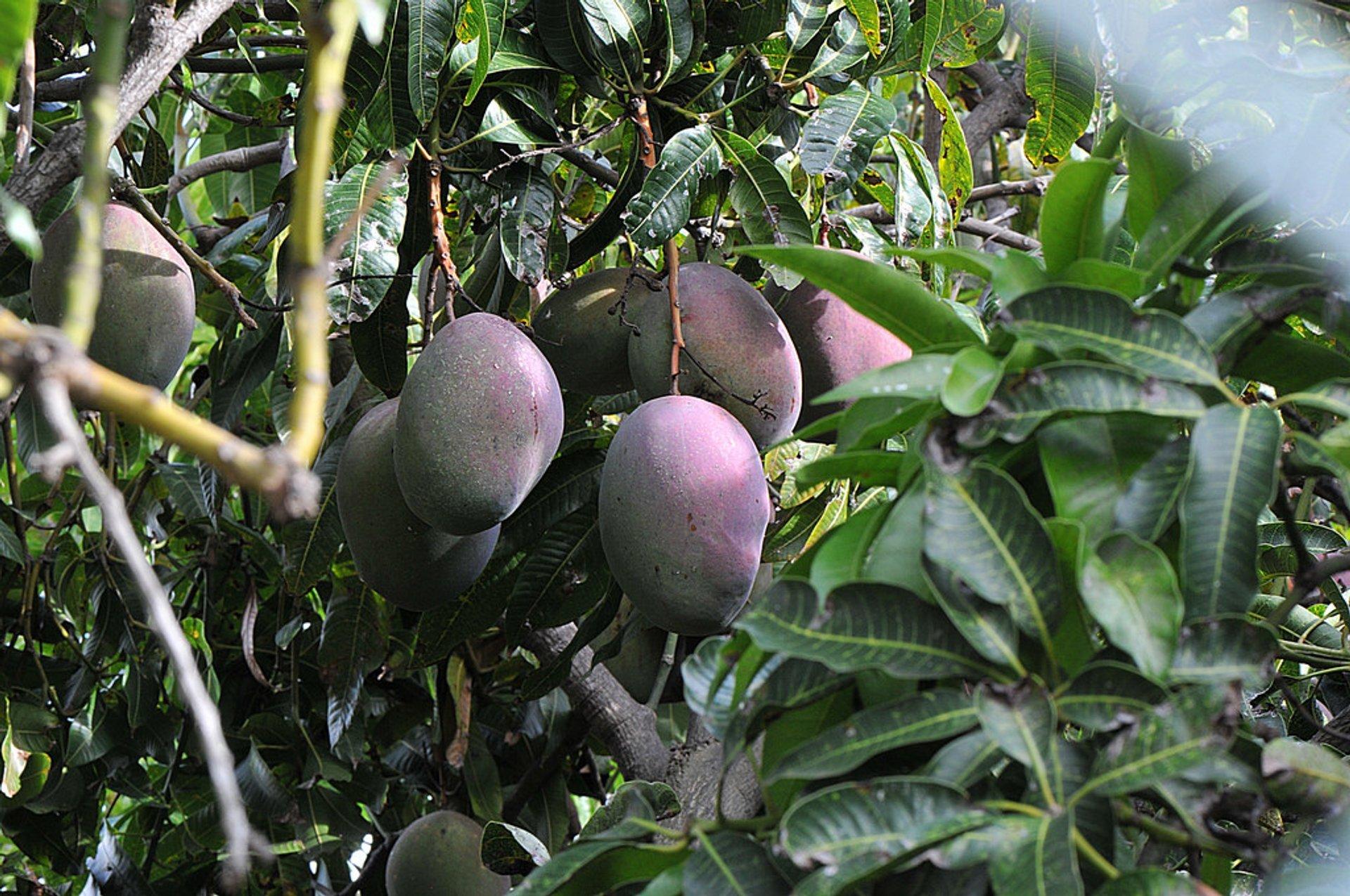 Mango Season in Madeira - Best Season 2019