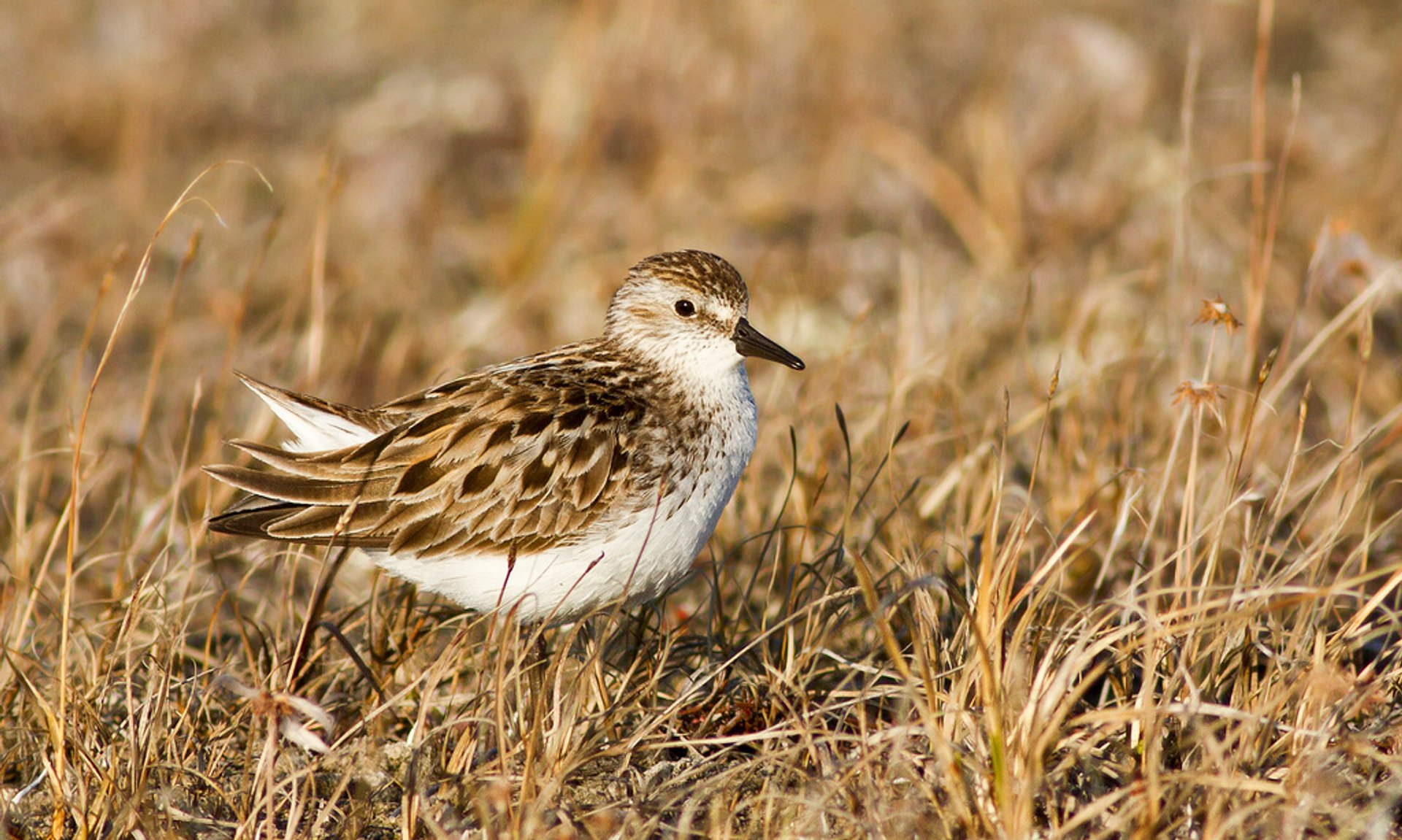 Semipalmated Sandpiper, North Slope Borough, Alaska 2019