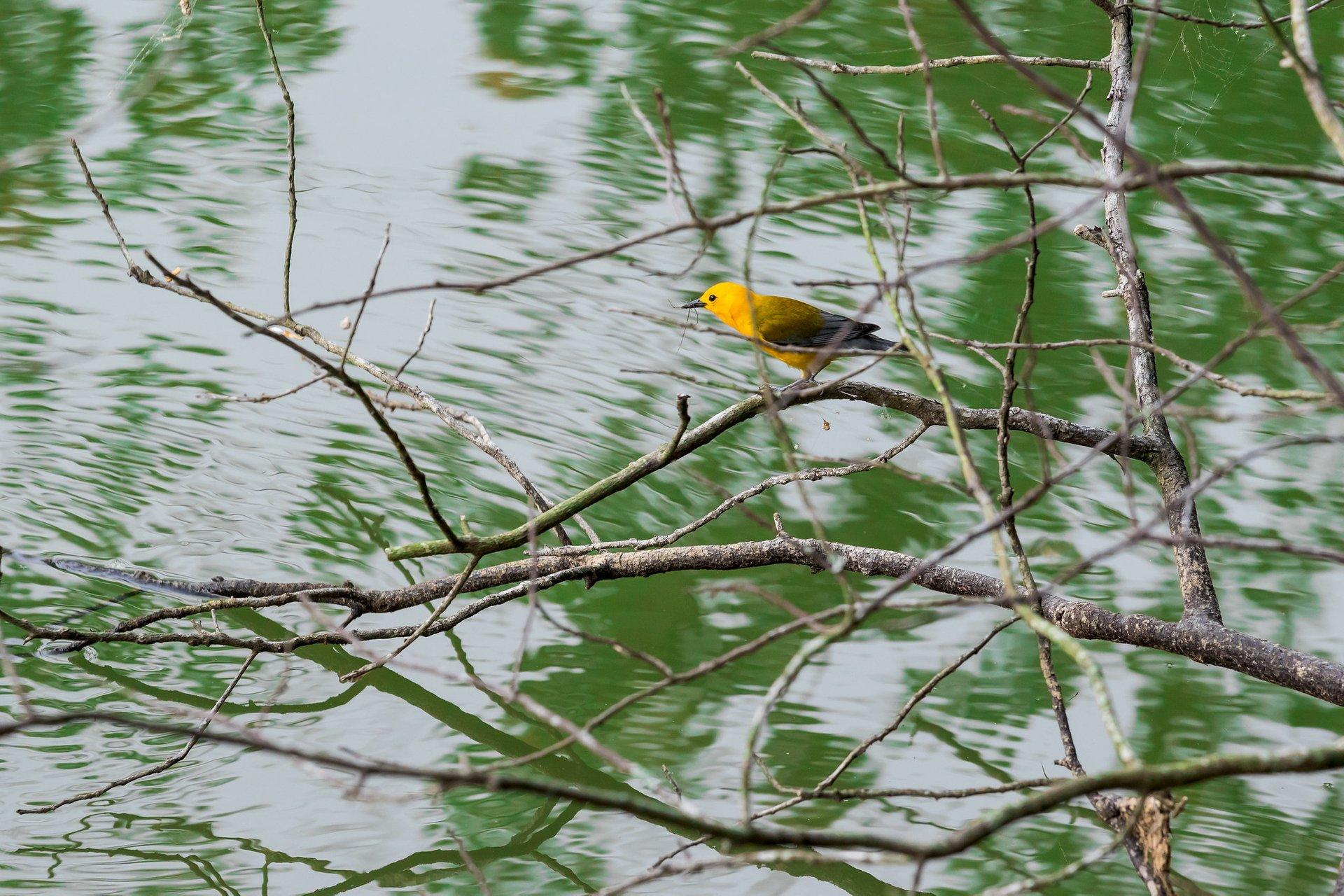 Prothonotary warbler (Protonotaria citrea) at Radnor Lake State Park 2020