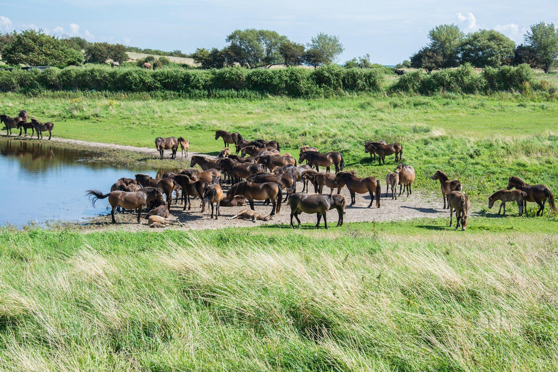 Wild Horses in Denmark 2020 - Best Time