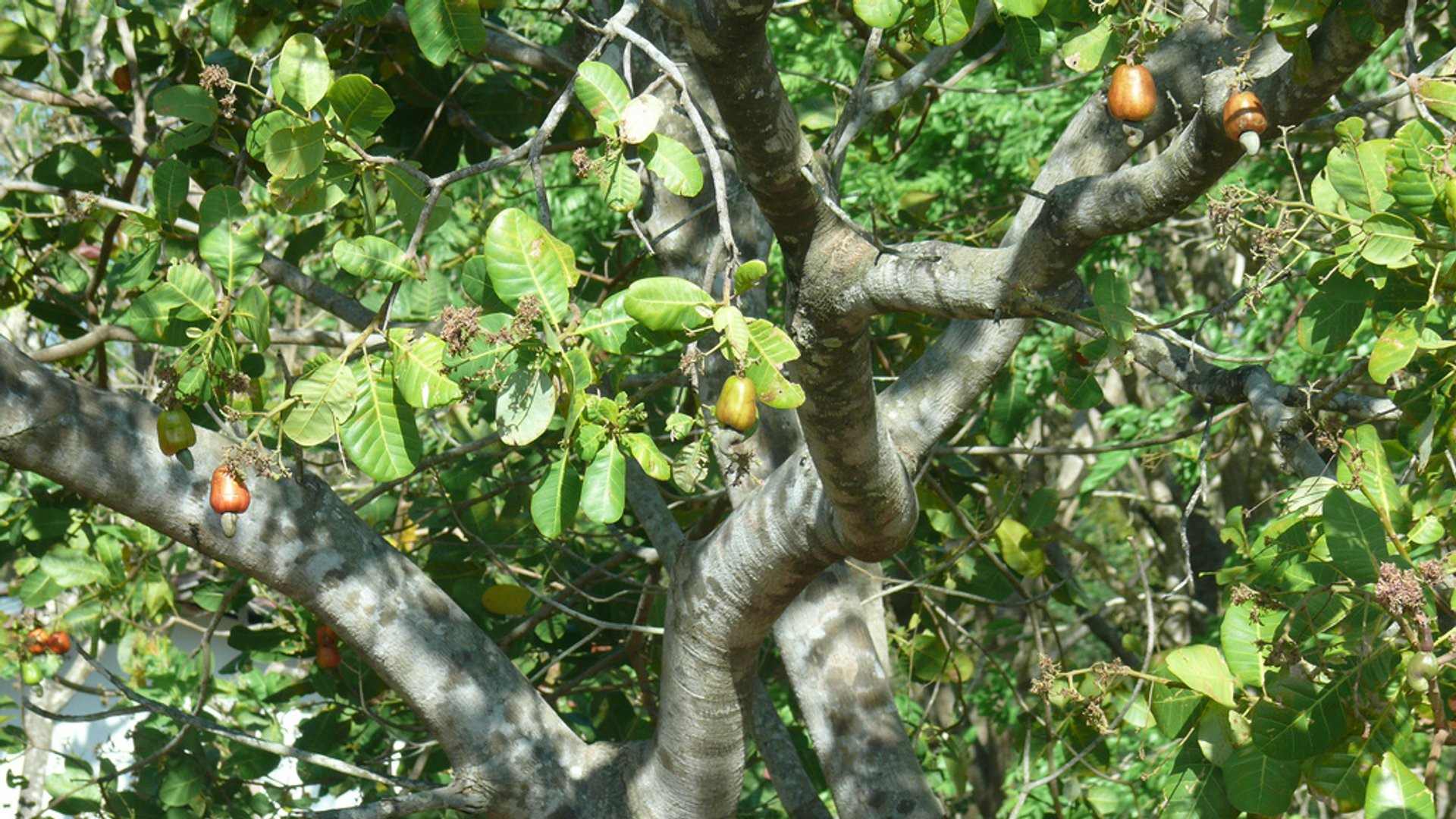 Cashew in Costa Rica - Best Season