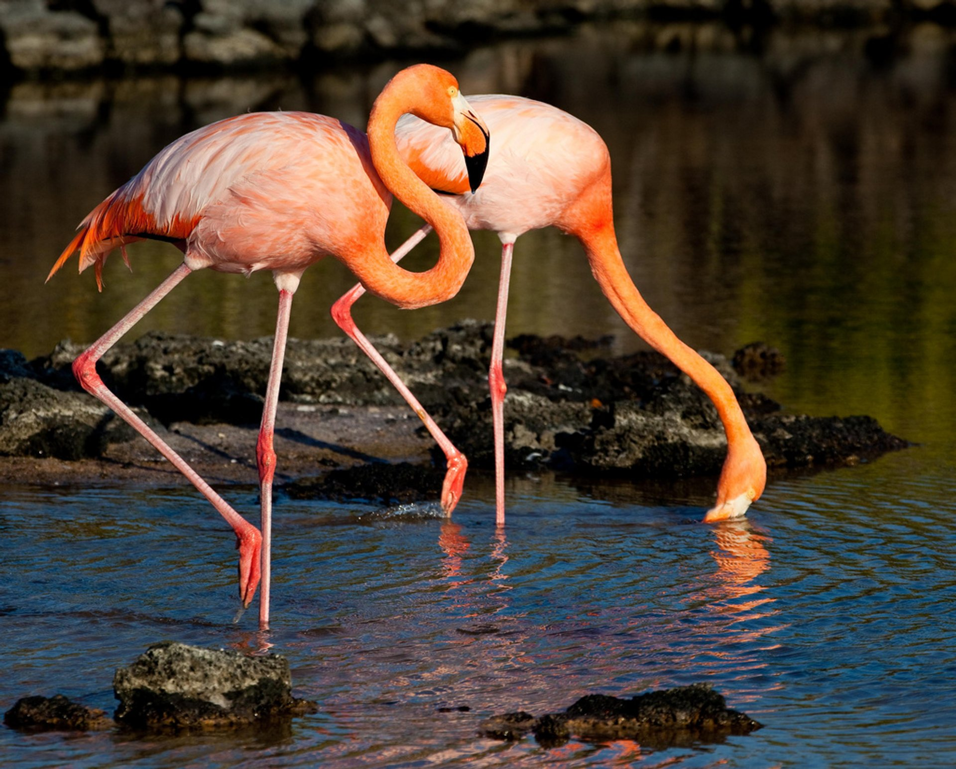 Galapagos Flamingos Courtship Dances in Galapagos Islands - Best Season 2019