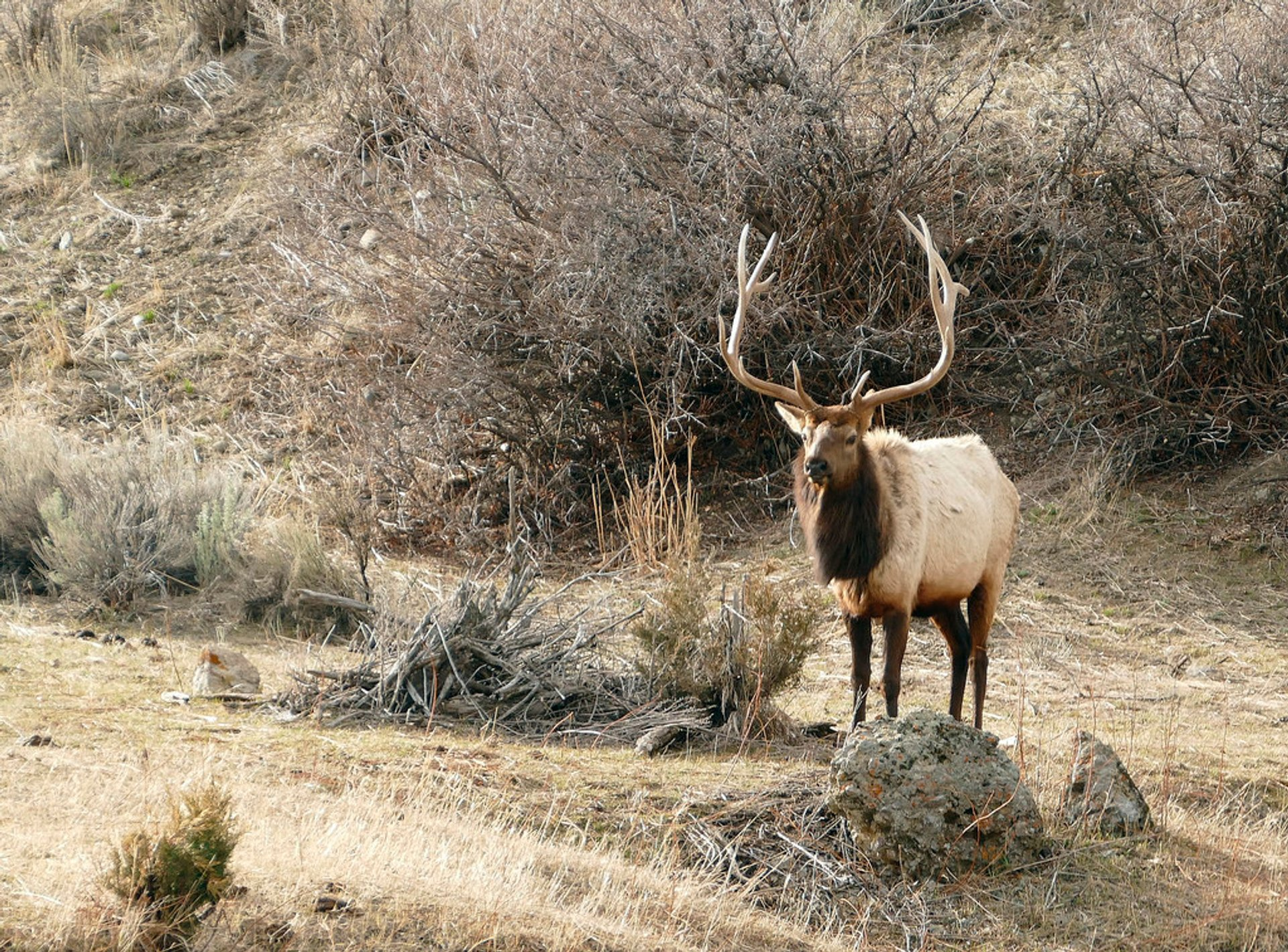 Elks in Yellowstone National Park - Best Season 2019