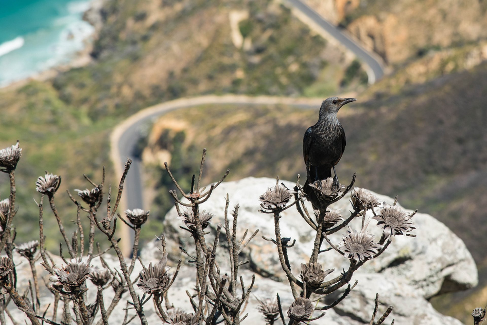 Bird over the Chapman's Peak Drive 2020