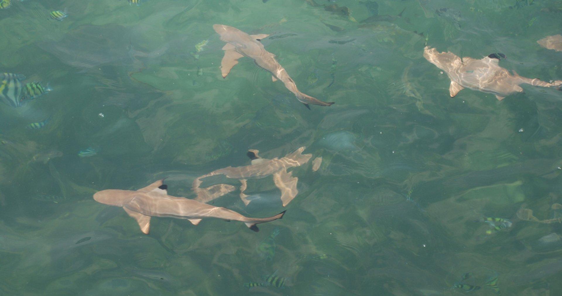 Feeding Baby Sharks in Malaysia - Best Season 2020