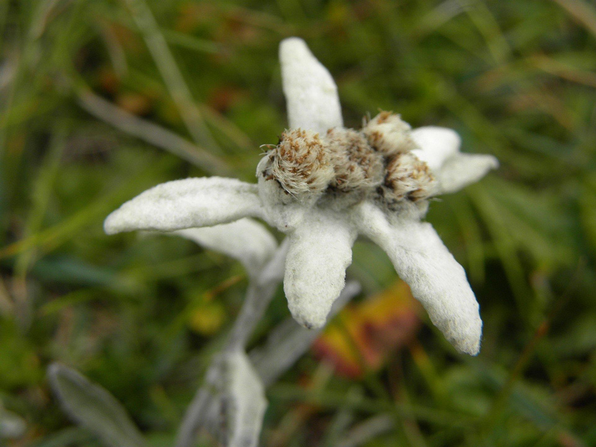 Edelweiss in Austria - Best Season