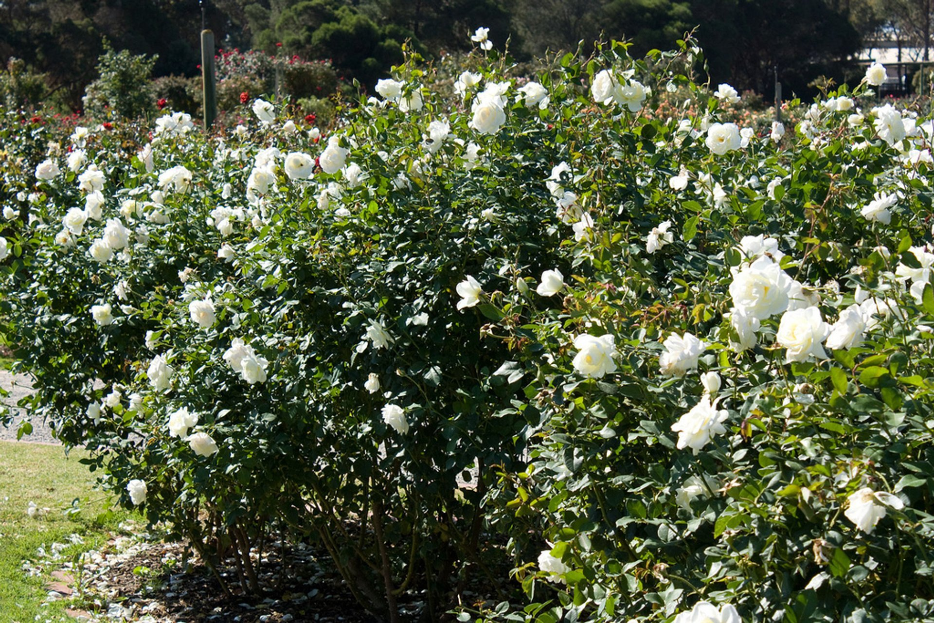 Best time to see Rose Blooming in Victoria State Rose Garden in Victoria 2020