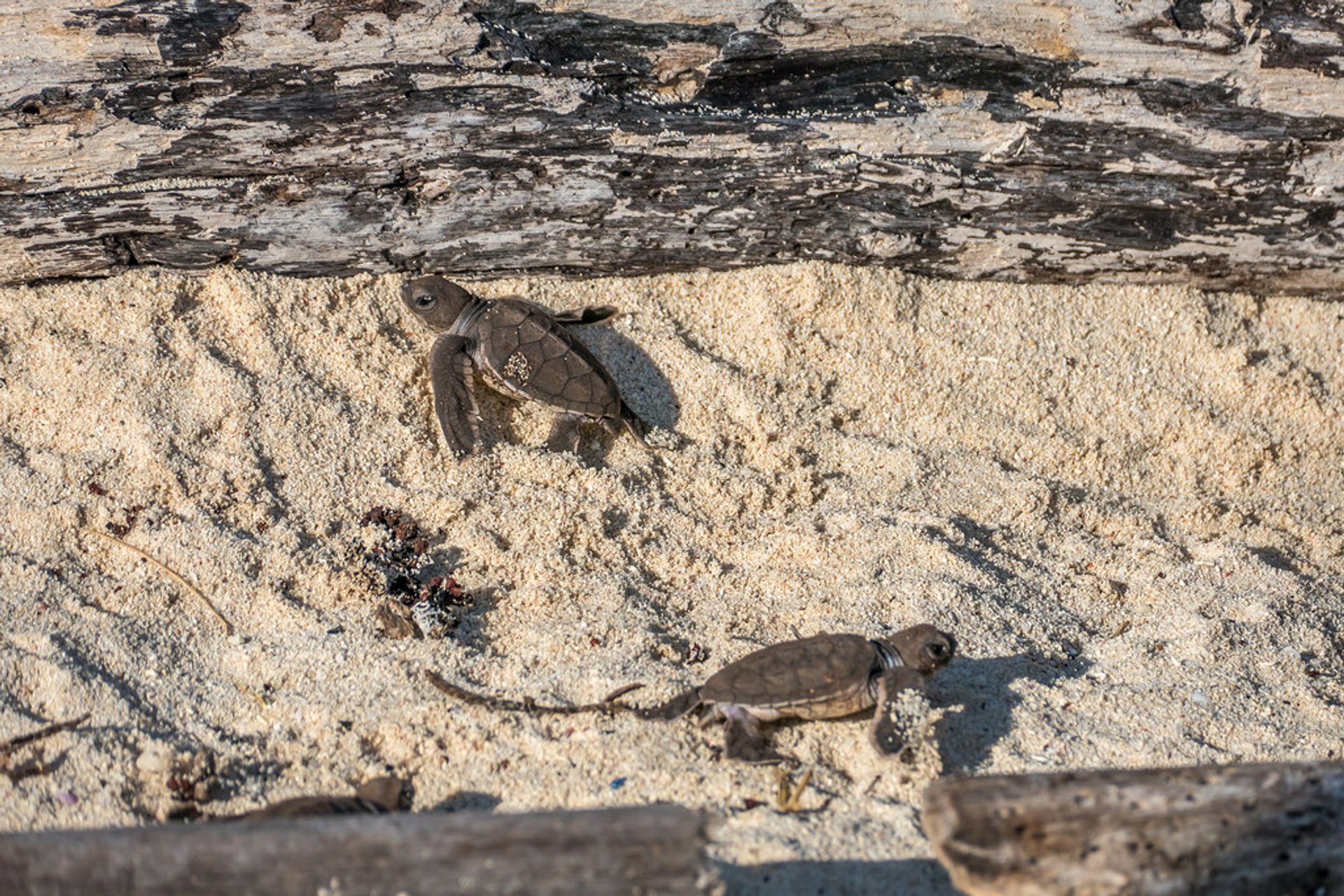 Best time to see Sea Turtle Hatchlings in Tanzania 2019