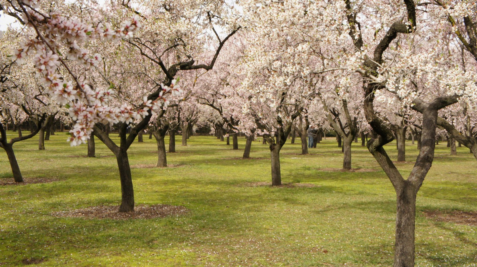 Almond Blossoms in Quinta de Los Molinos in Madrid - Best Season 2019