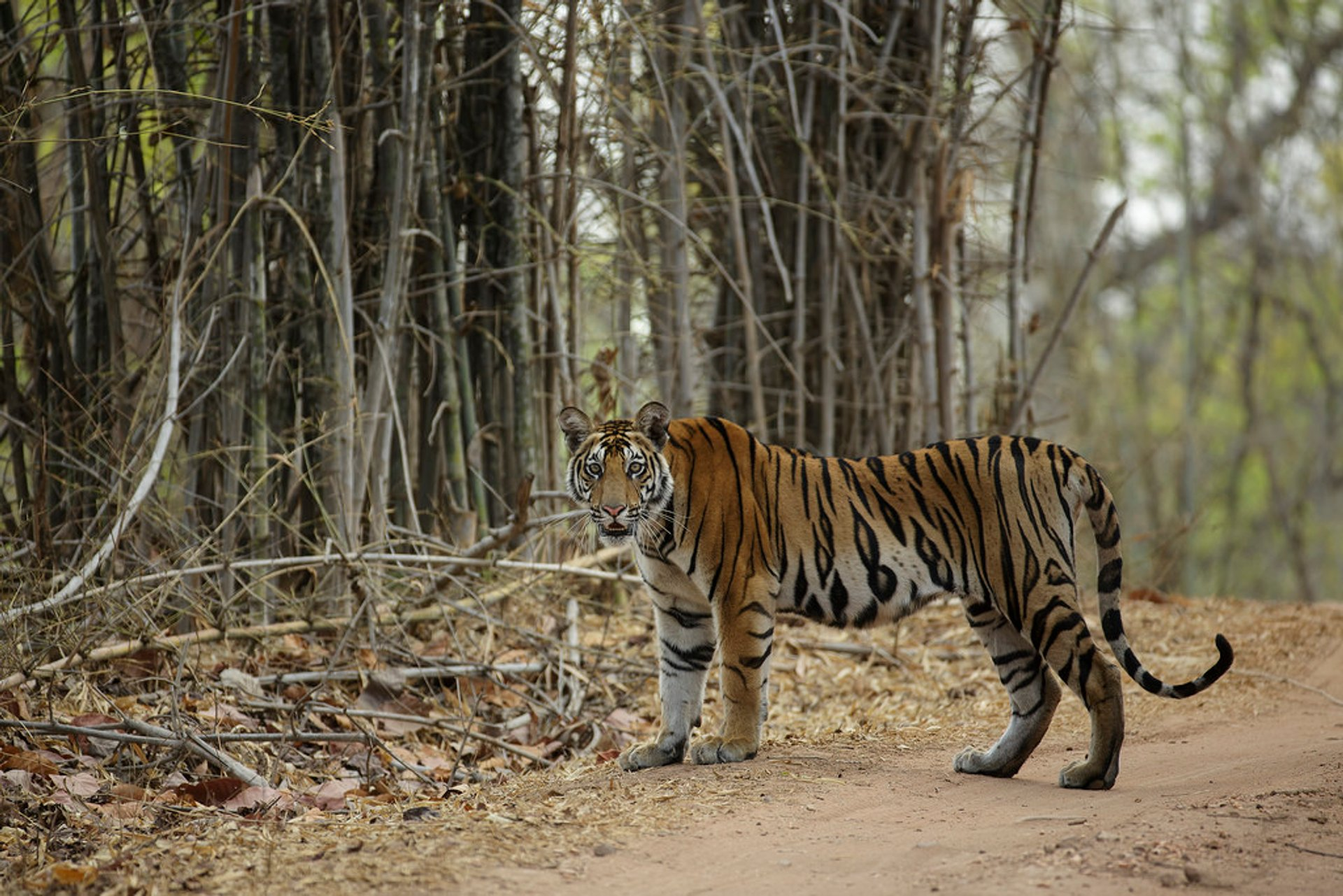 Sub adult tiger spotted in the Bandhavgarh National Park 2020