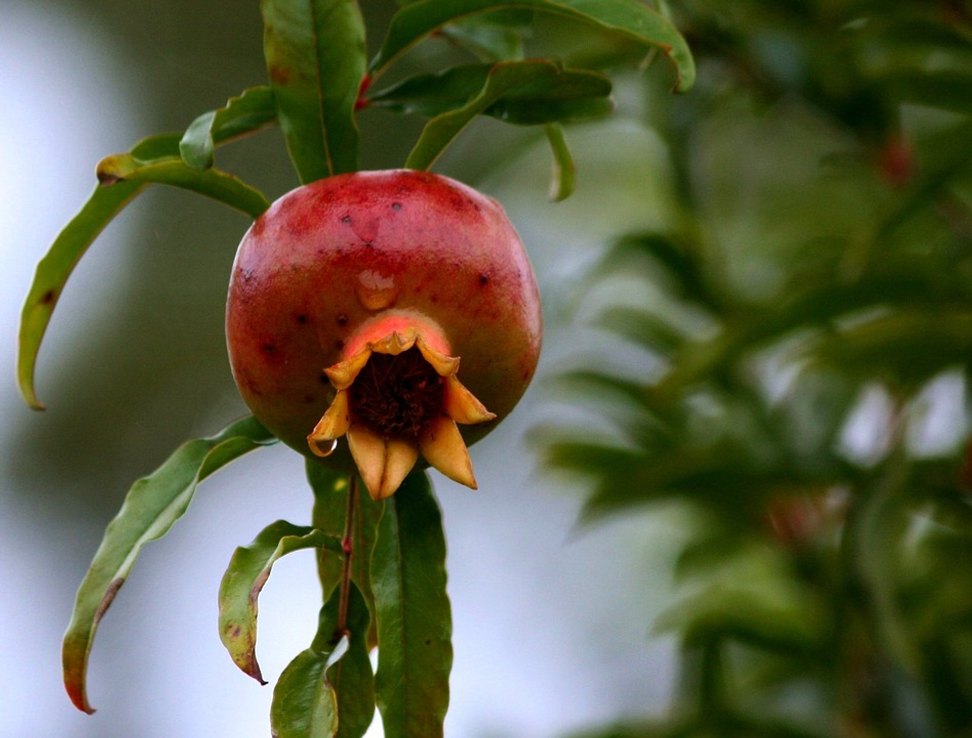 Best time for Pomegranate Season in Nevada