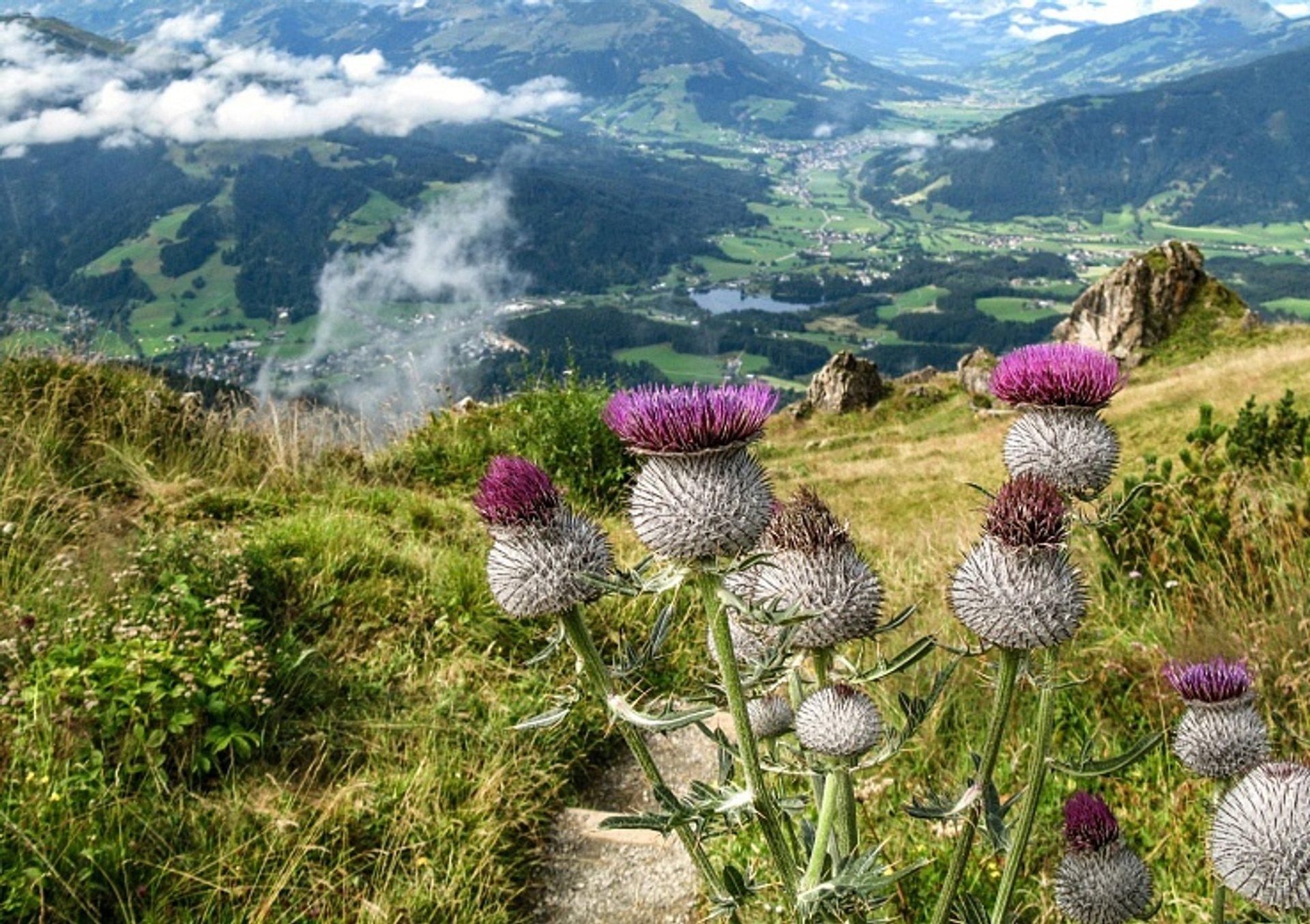 Alpine Flower Garden Kitzbüheler Horn in Austria - Best Time